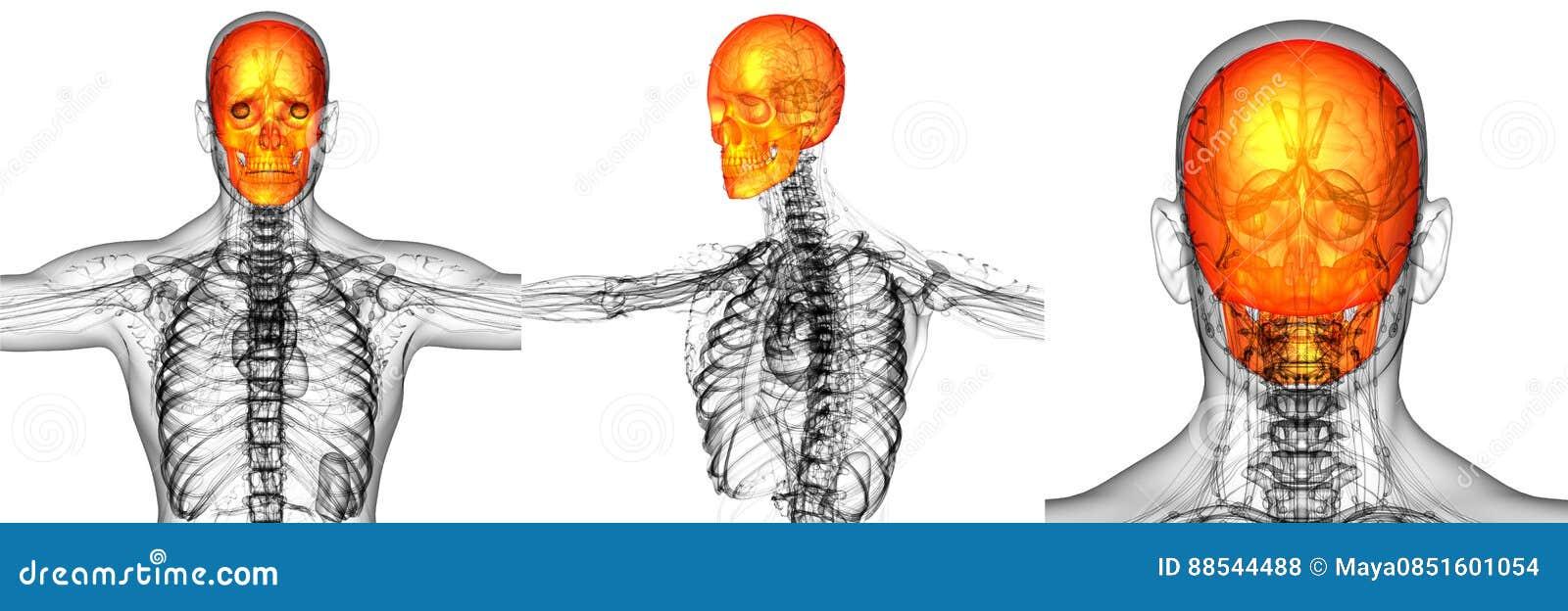 Schädelknochen stockfoto. Bild von kiefer, unterkiefer - 88544488