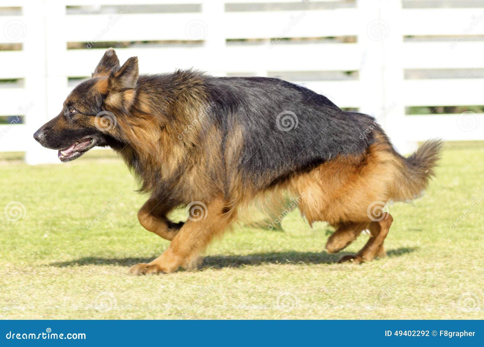 Download Schäferhund Dog stockfoto. Bild von braun, energisch - 49402292