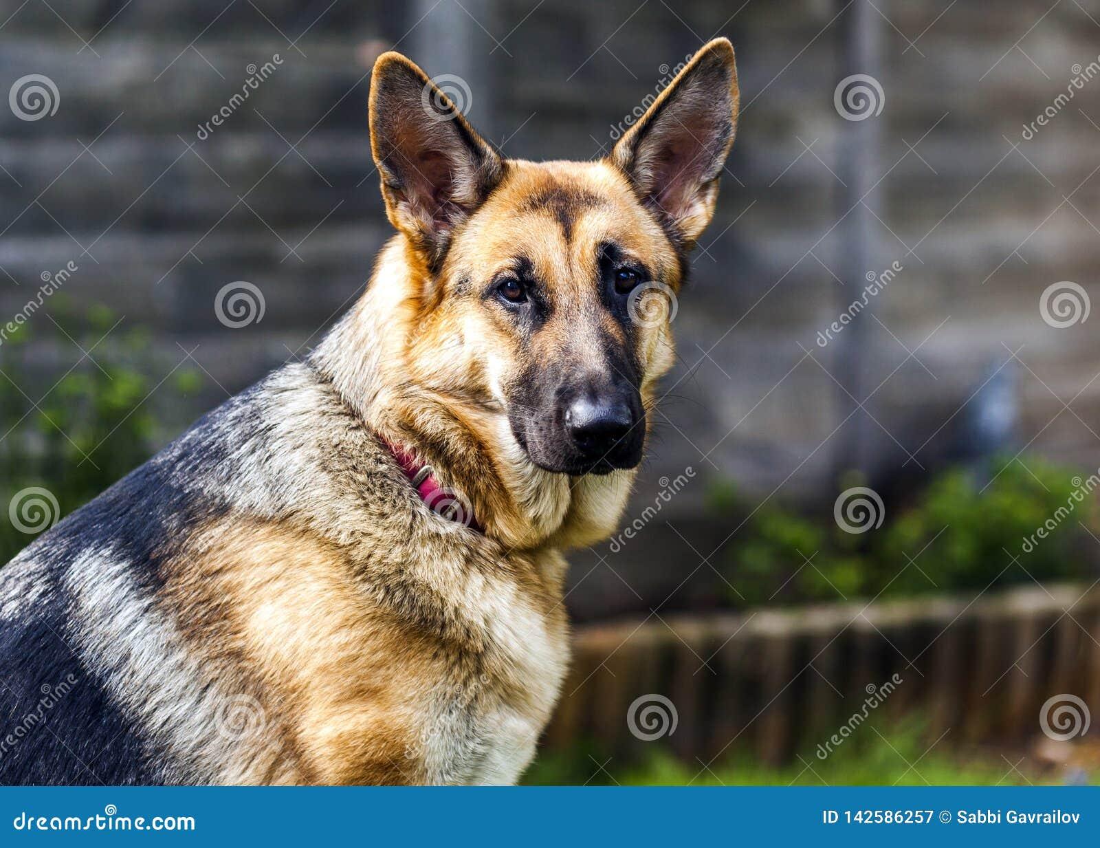 Schäferhundhunderassefrau