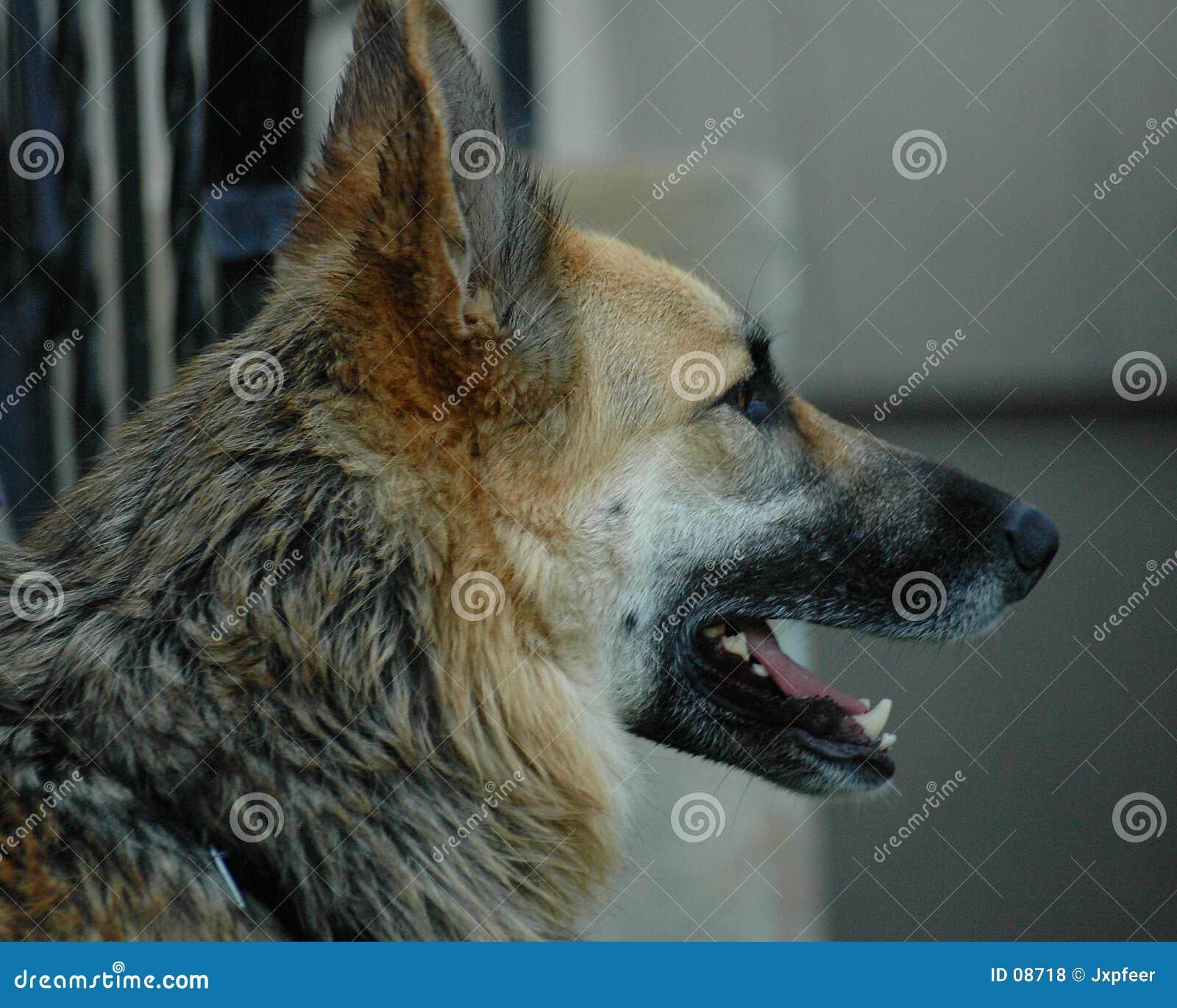 Schäferhundprofil