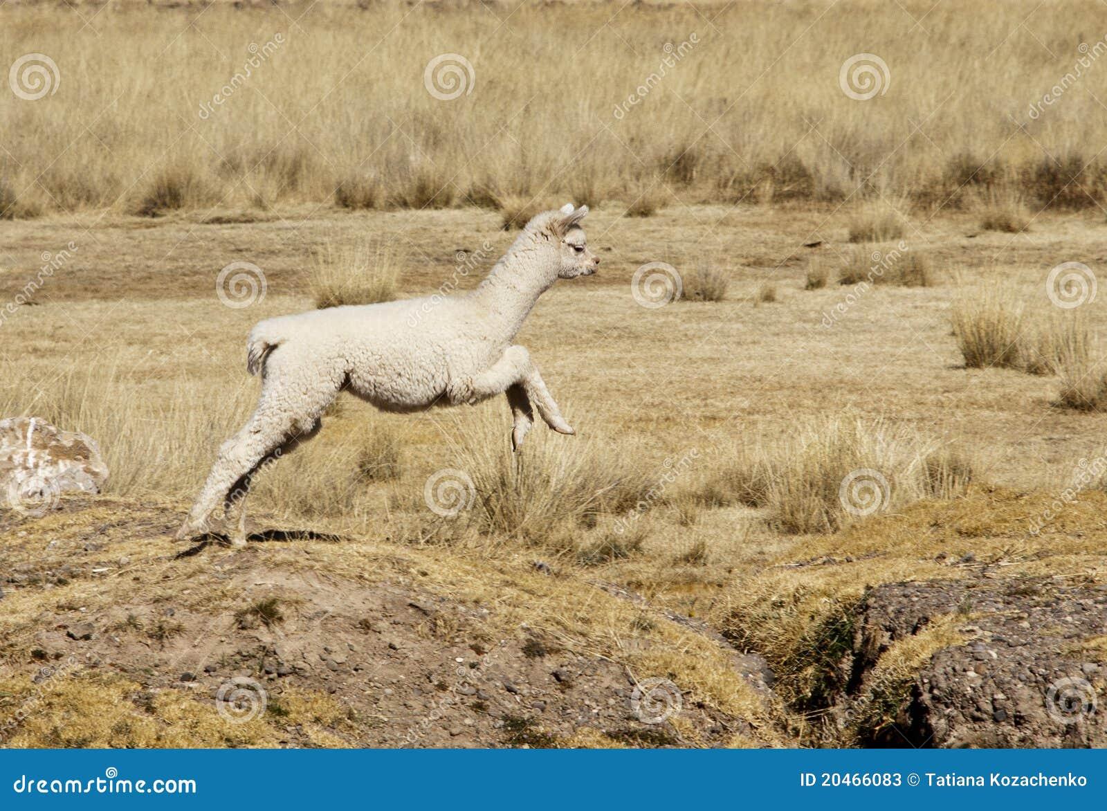 Schätzchen-Alpaka