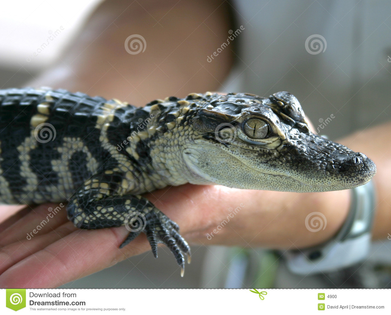 Schätzchen Gator