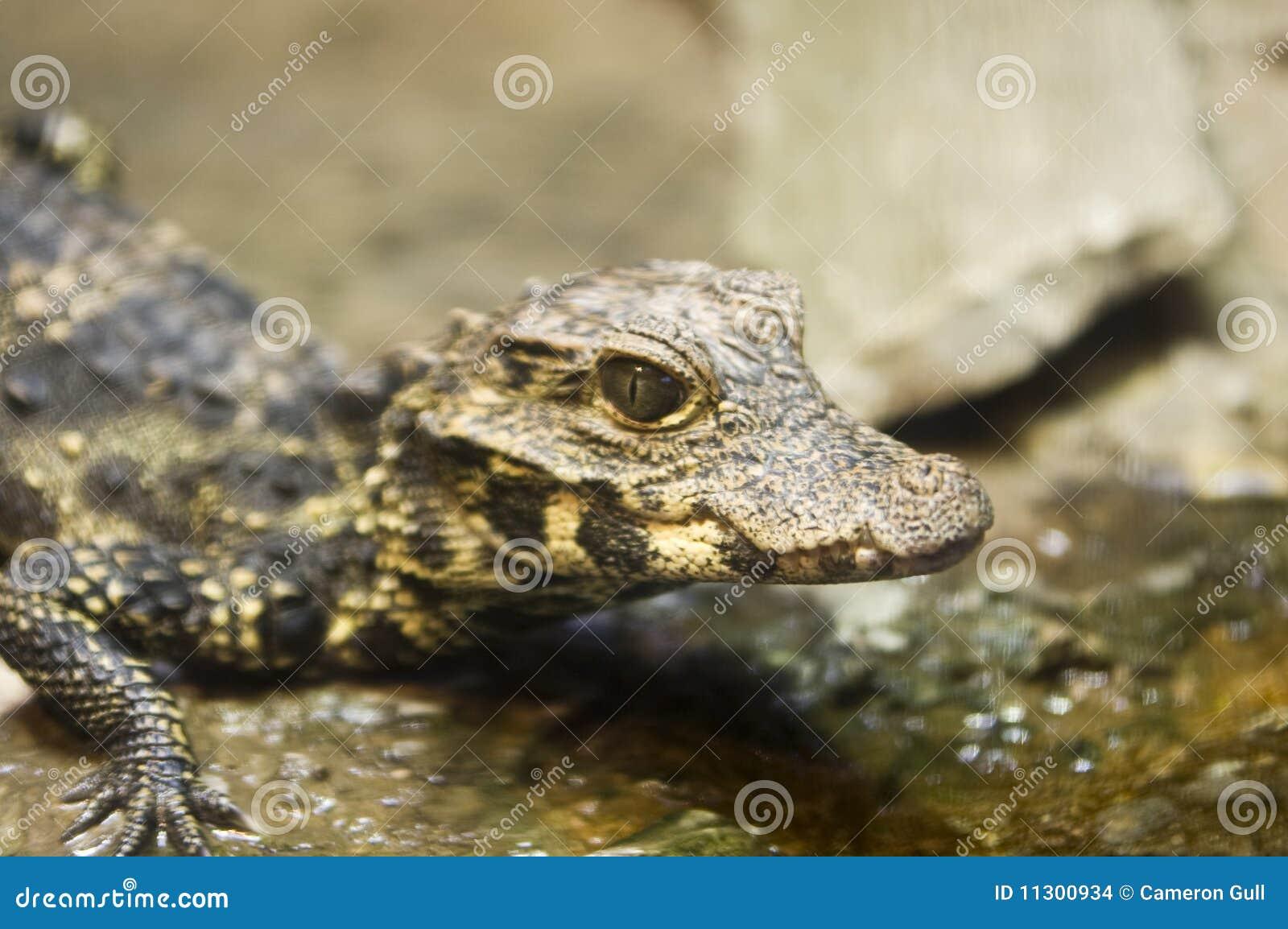Schätzchen-Krokodil