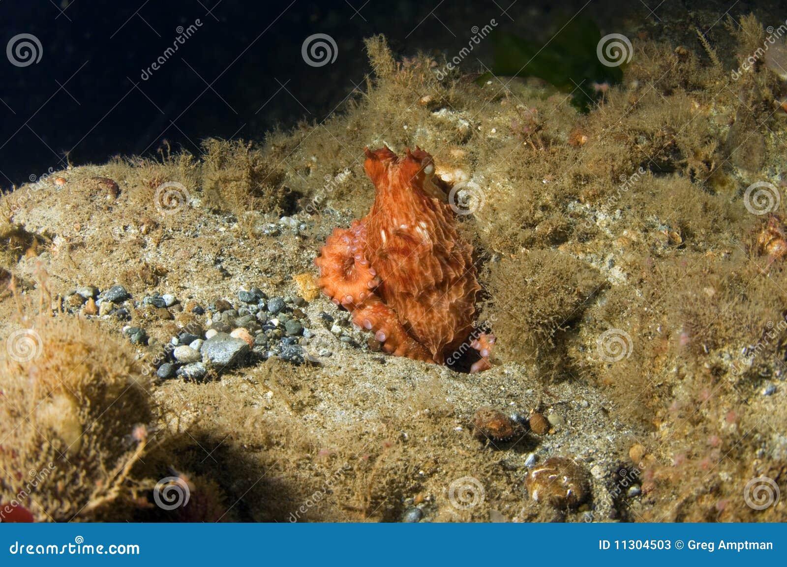 Schätzchen-riesige pazifische Krake