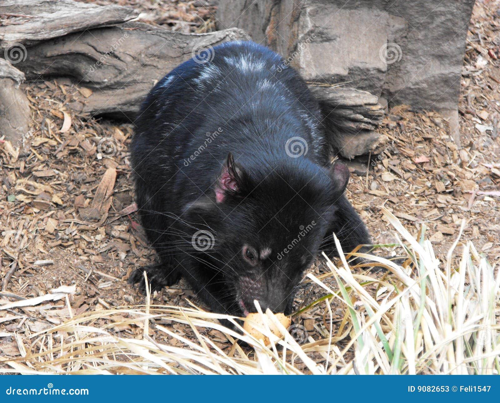 Schätzchen-tasmanischer Teufel