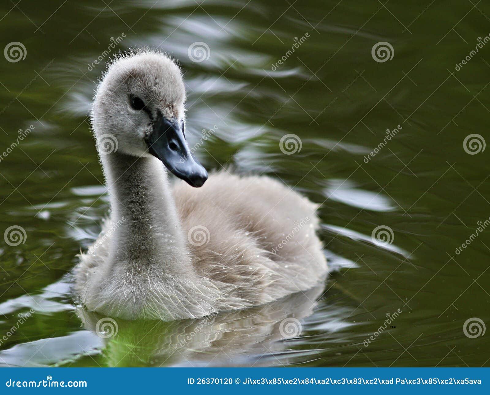 Schätzchenschwan im Wasser