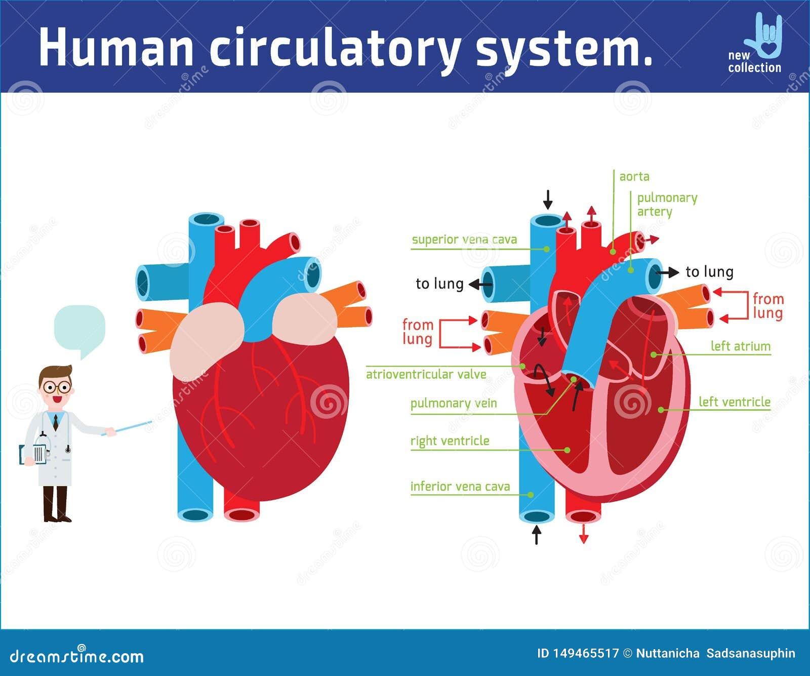Sch?ma de l anatomie de coeur conception plate de bande dessin?e d ic?ne d illustration de vecteur