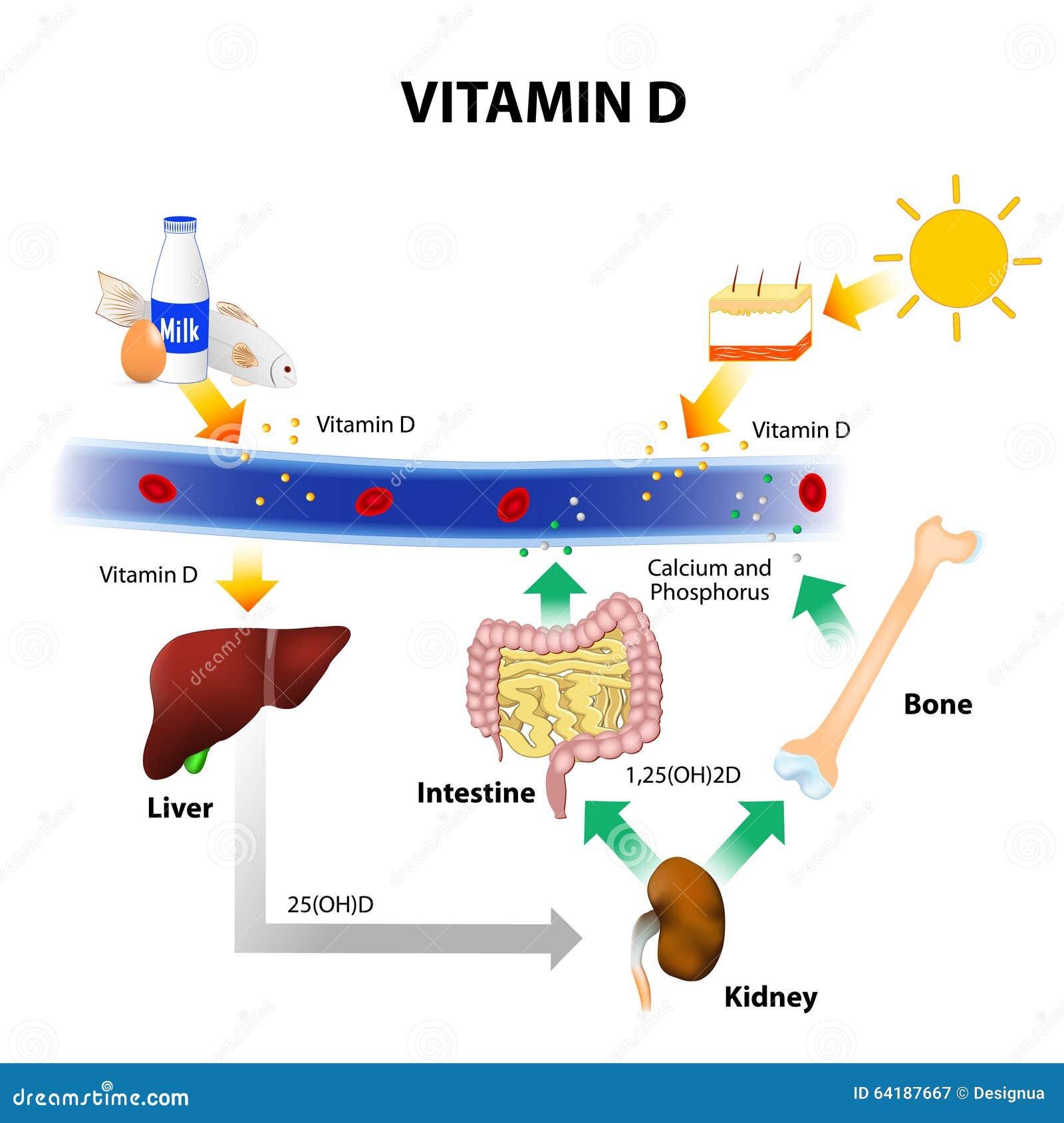 sch 233 ma de principe de m 233 tabolisme de la vitamine d photo stock image 64187667