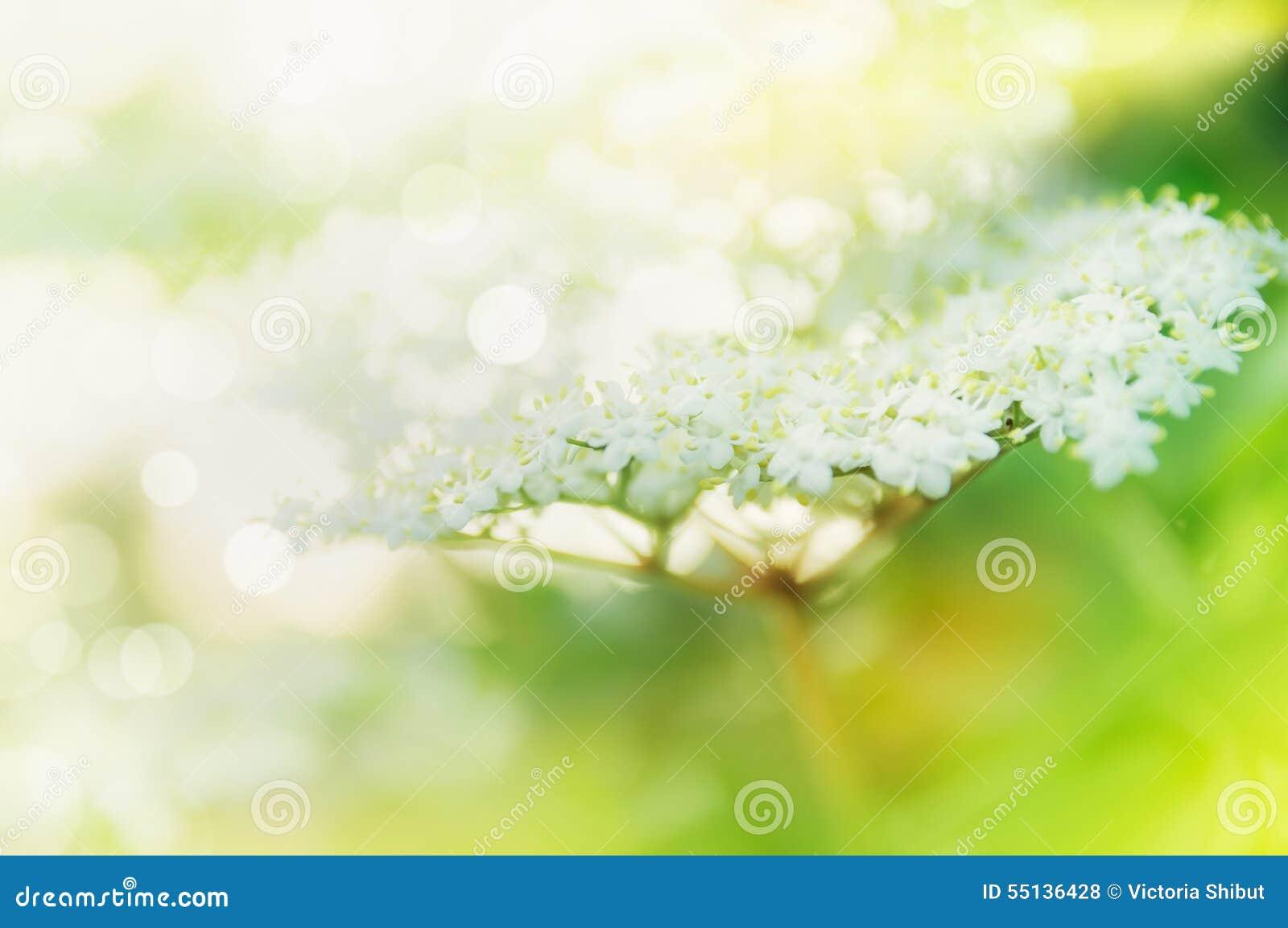 Schöne Ältestblüte im Garten oder in Park, im Freien