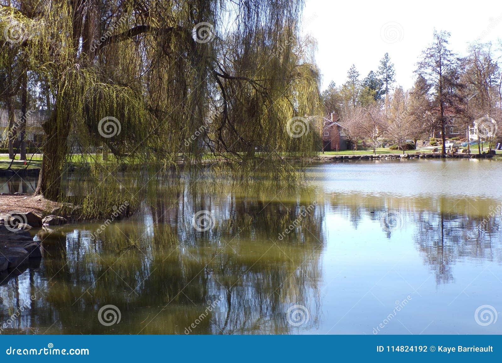 Schöne alte weinende Willow Stands Sentry At der Rand von Teich