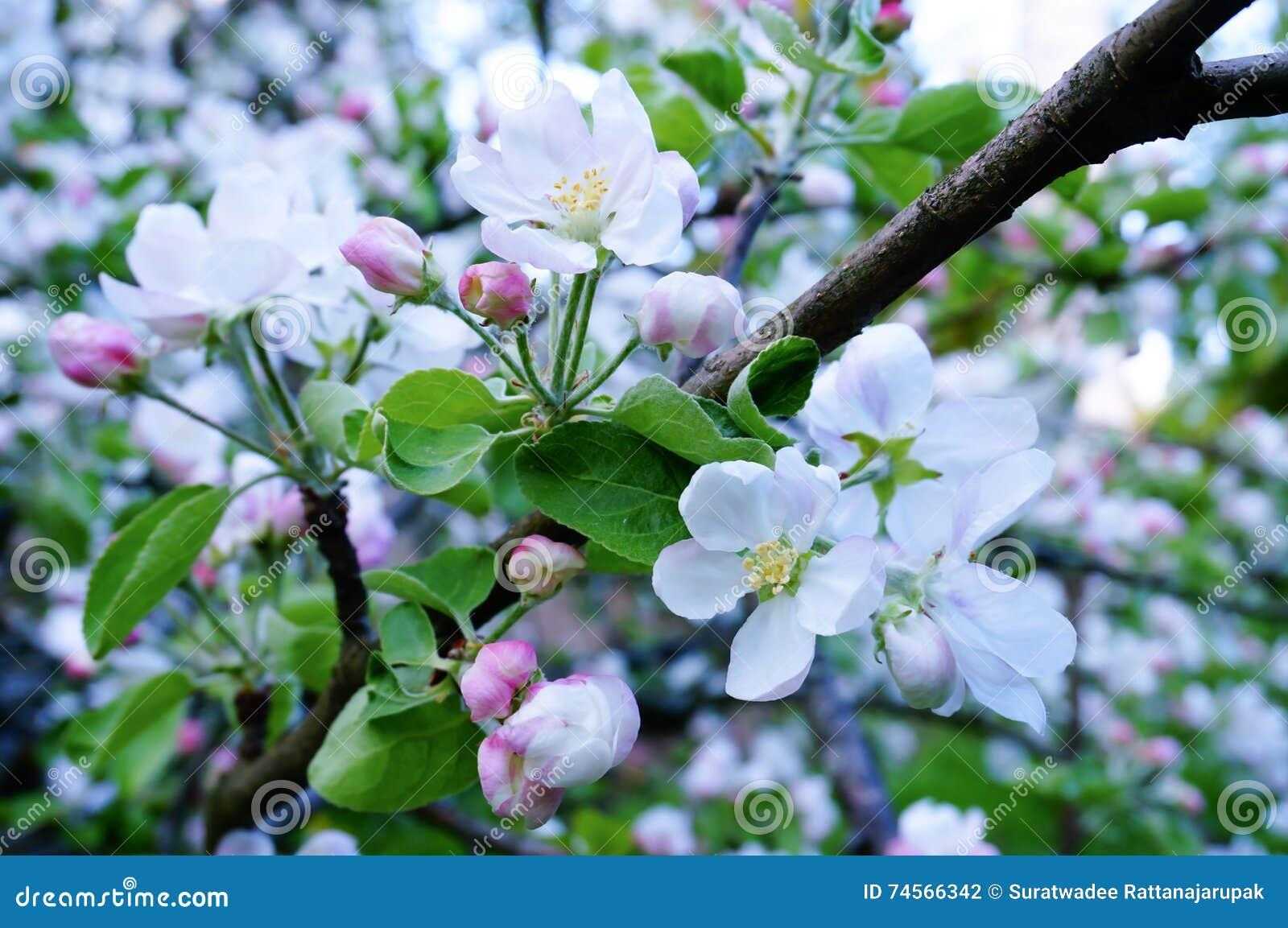 Schöne Apfelblüte im Frühjahr