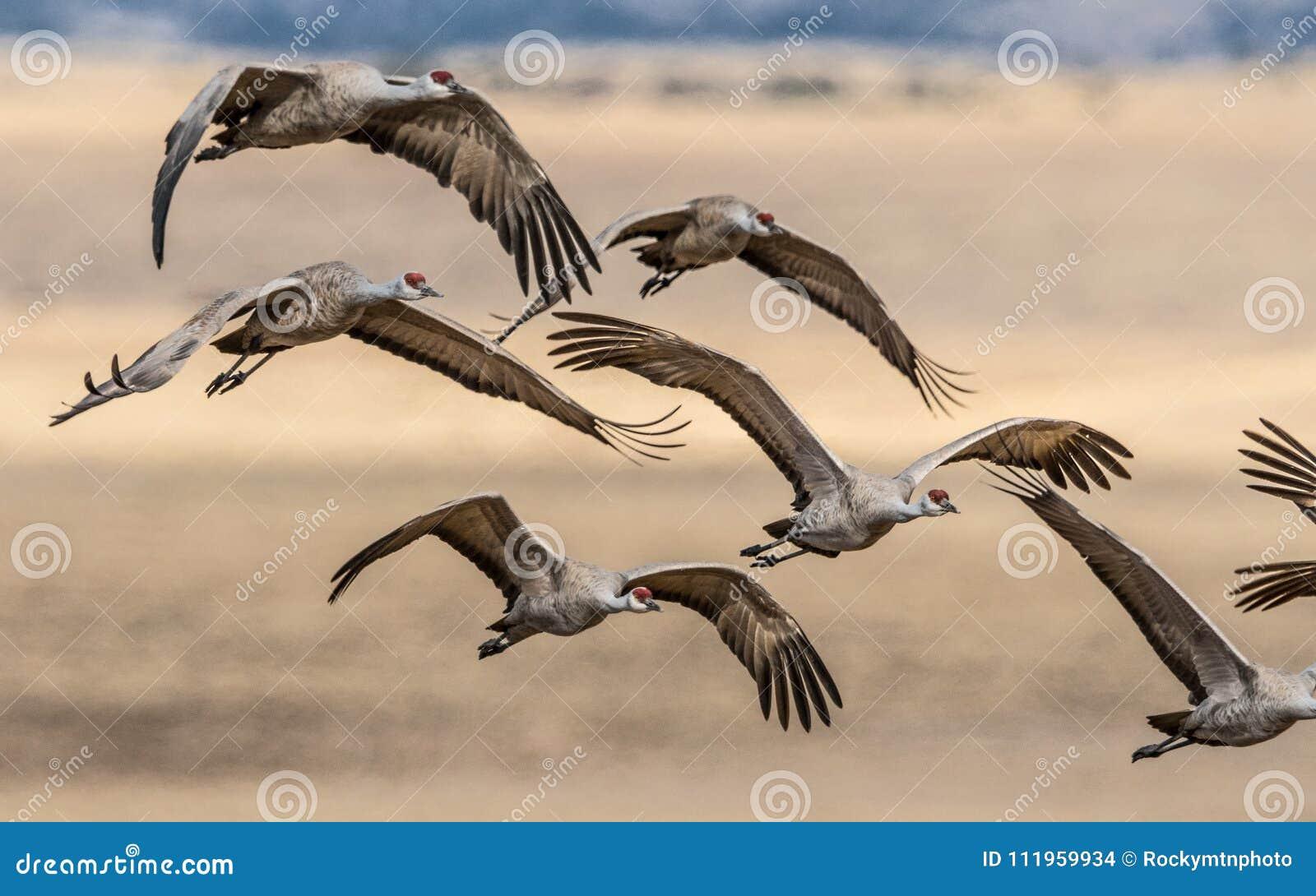 Schöne Bildung von Fliegen sandhill Kränen