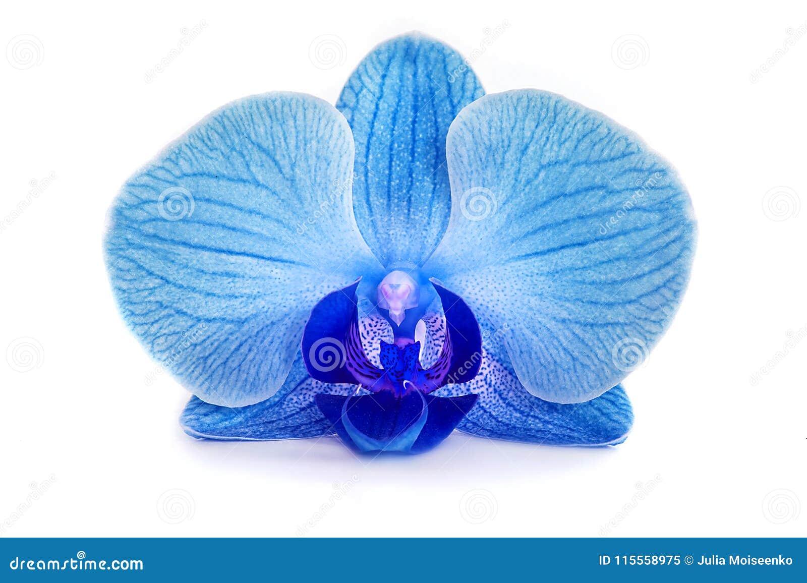 Schöne Blaue Orchidee Ohne Hintergrund Helle Blaue Orchidee Blüht