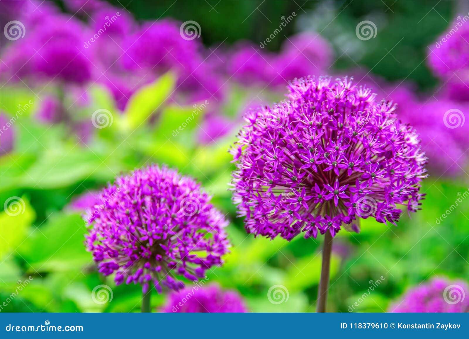 Schöne Blumen der purpurroten Farbe des Zwiebel-Lauchs, Garten, Natur, Frühling vibrierende purpurrote Blume der Kugel ähnlichen