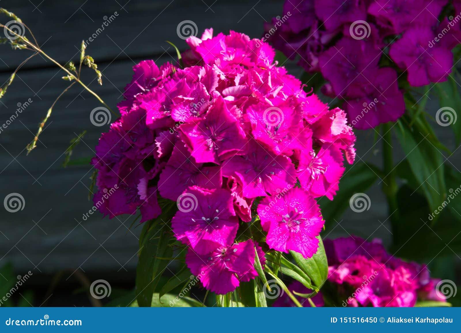 Schöne Blumen der türkischen Gartennelke im sonnigen Garten des Sommers