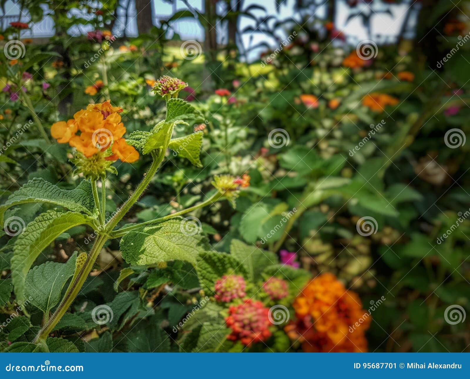 Schöne Blumen Im Tropischen Garten Nahe Mittelmeer Stockbild Bild