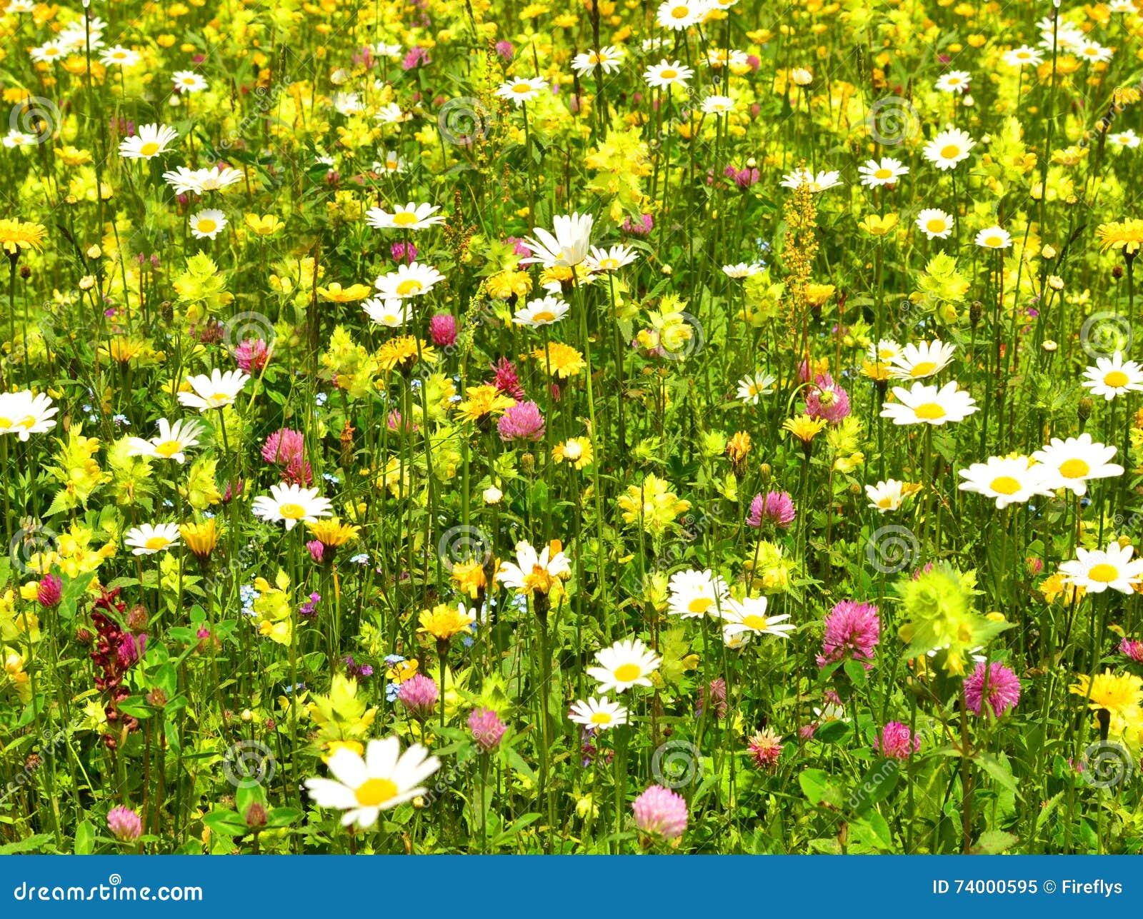 Schöne Blumenwiese Stockbild Bild Von Frech Wiese Berg 74000595