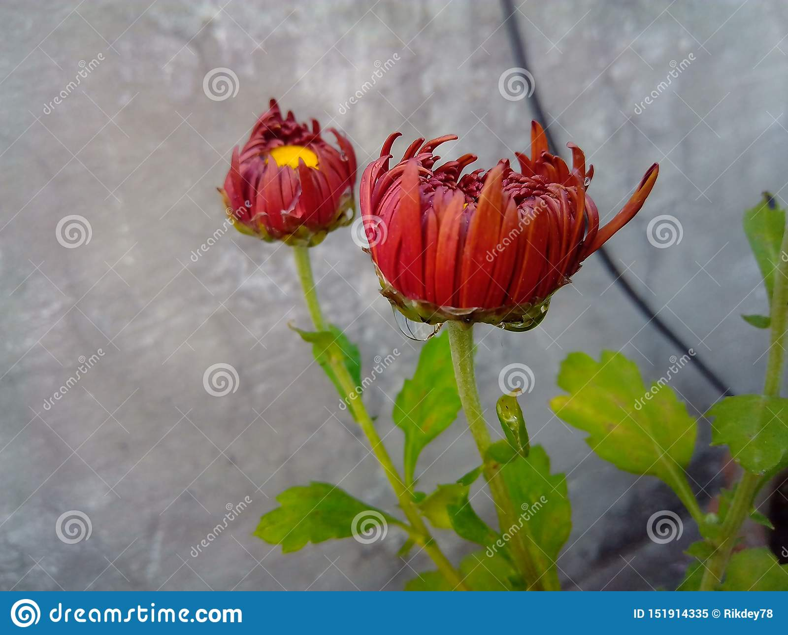 Schöne braune Gartenblume mit Wassertröpfchen