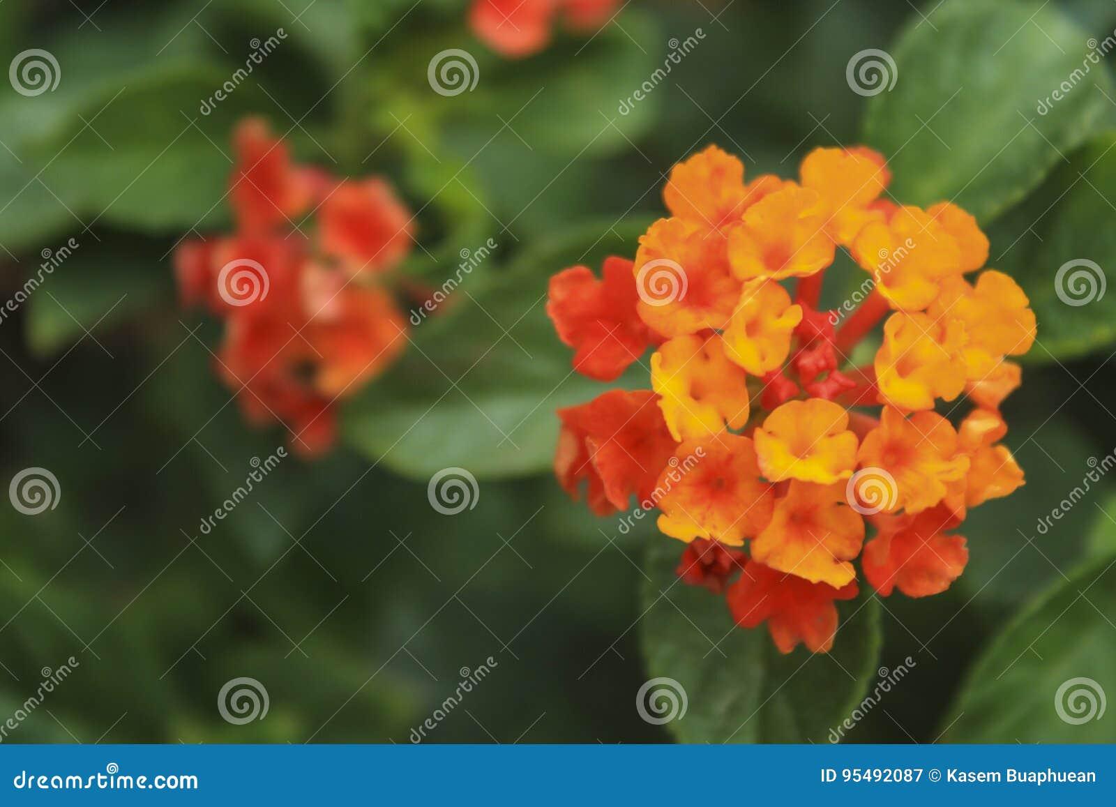 Schöne Bunte Hecken Blume Lantana Weinender Lantana Lantana