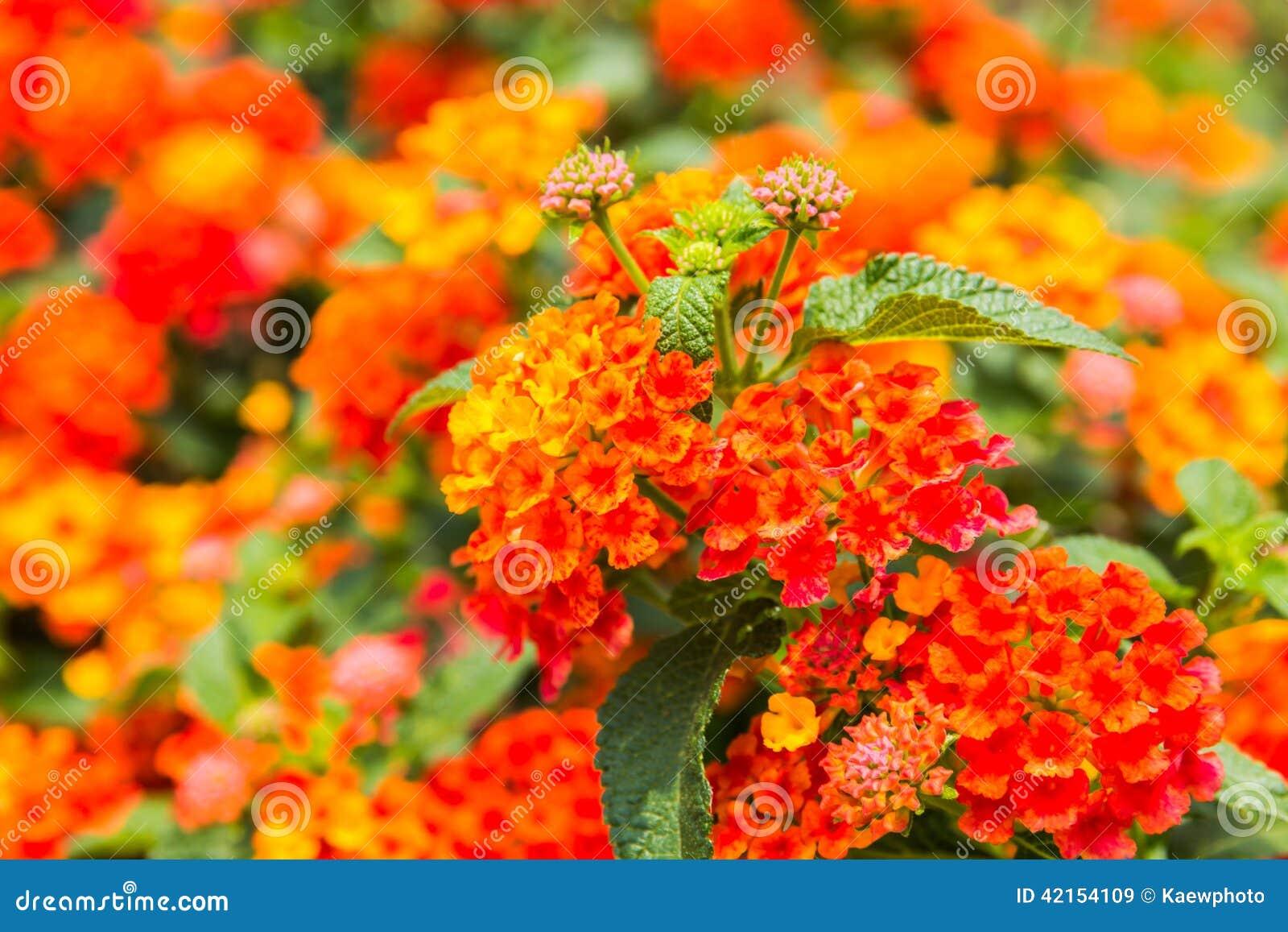 Schöne Bunte Hecken Blume Weinender Lantana Stockfoto Bild