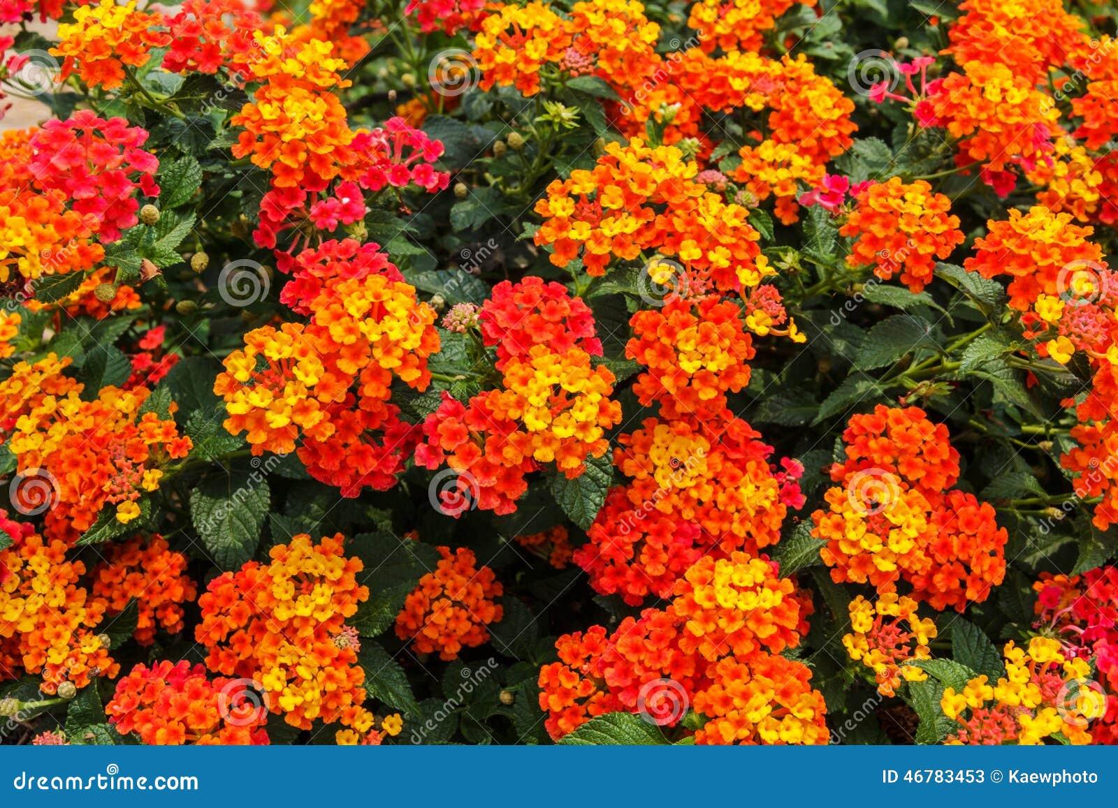 Schöne Bunte Hecken Blume Weinender Lantana Stockbild Bild