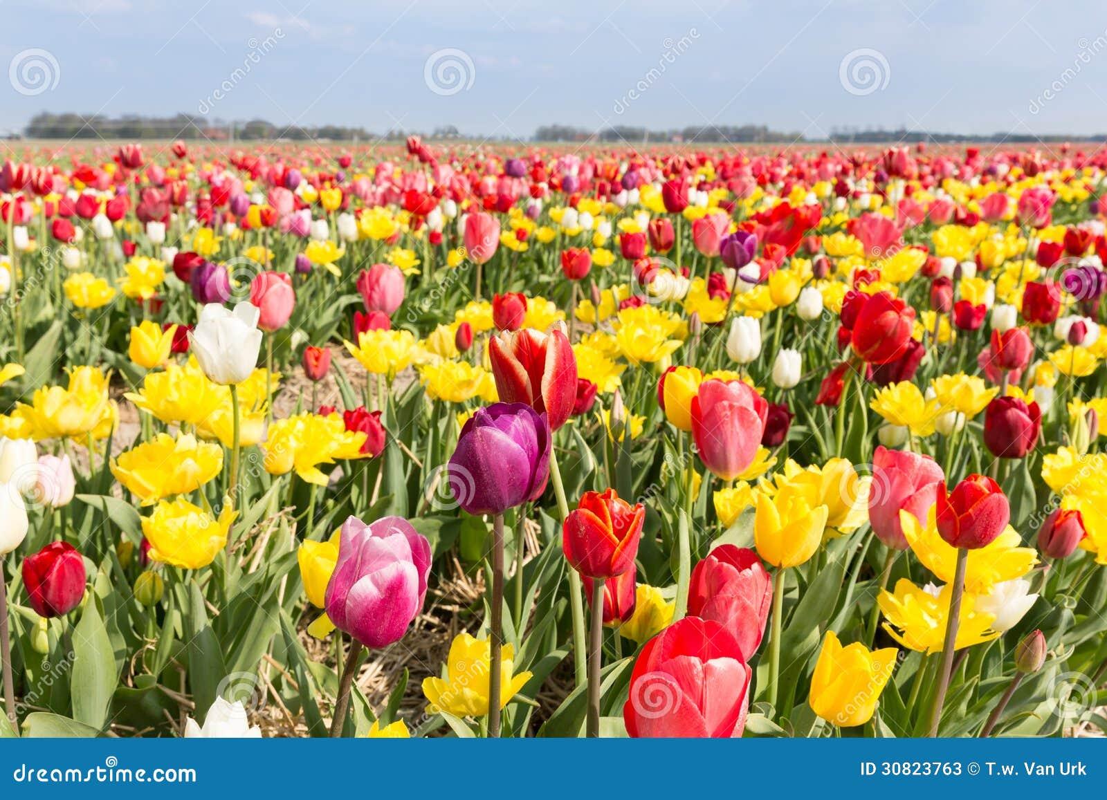 sch ne bunte tulpen gegen einen blauen himmel mit wolken stockbild bild von hell nave 30823763. Black Bedroom Furniture Sets. Home Design Ideas