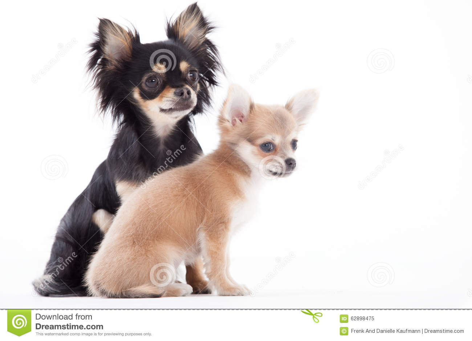 Schöne Chihuahuahunde