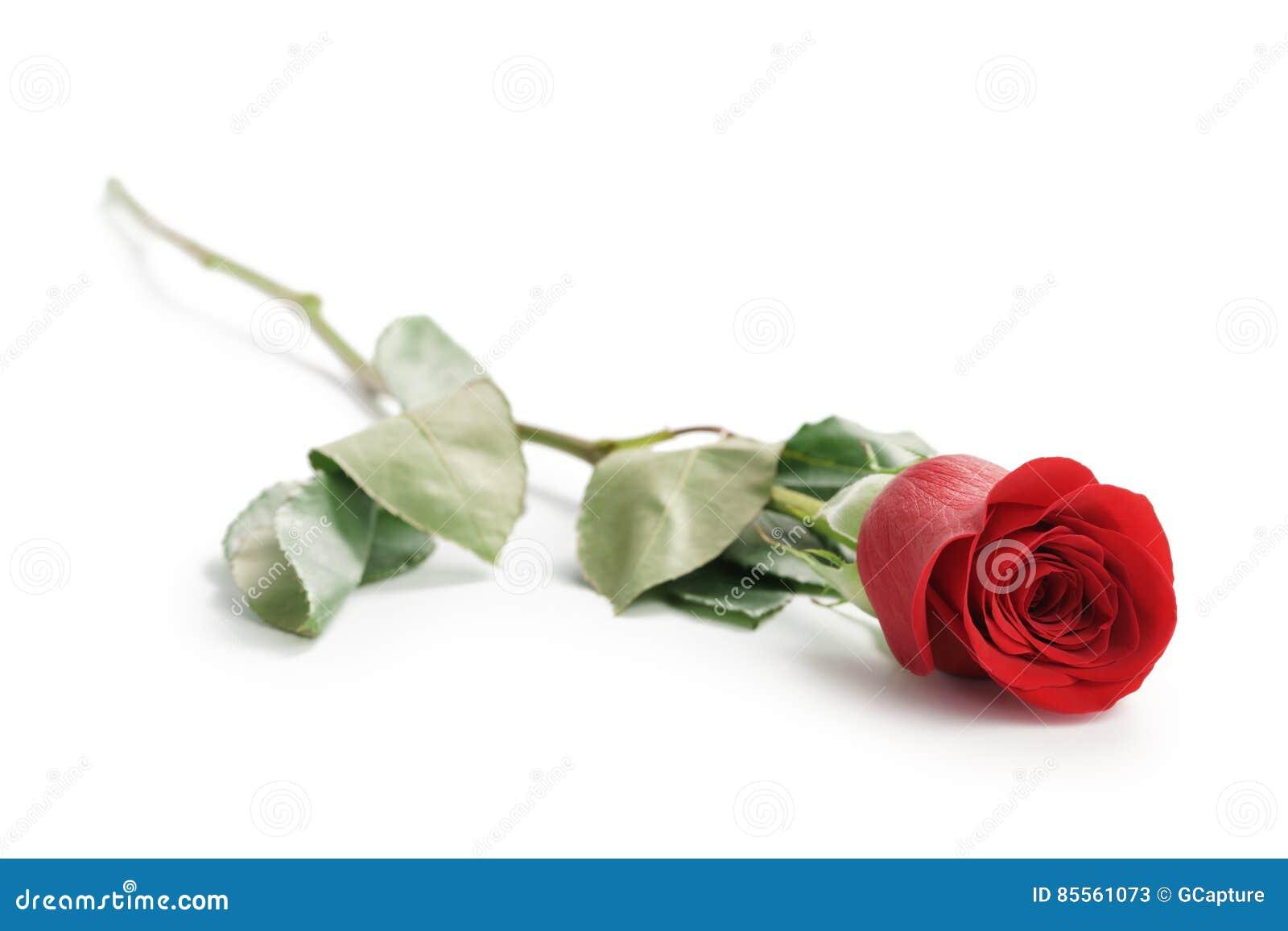 Schöne einzelne Rotrose auf weißem Hintergrund