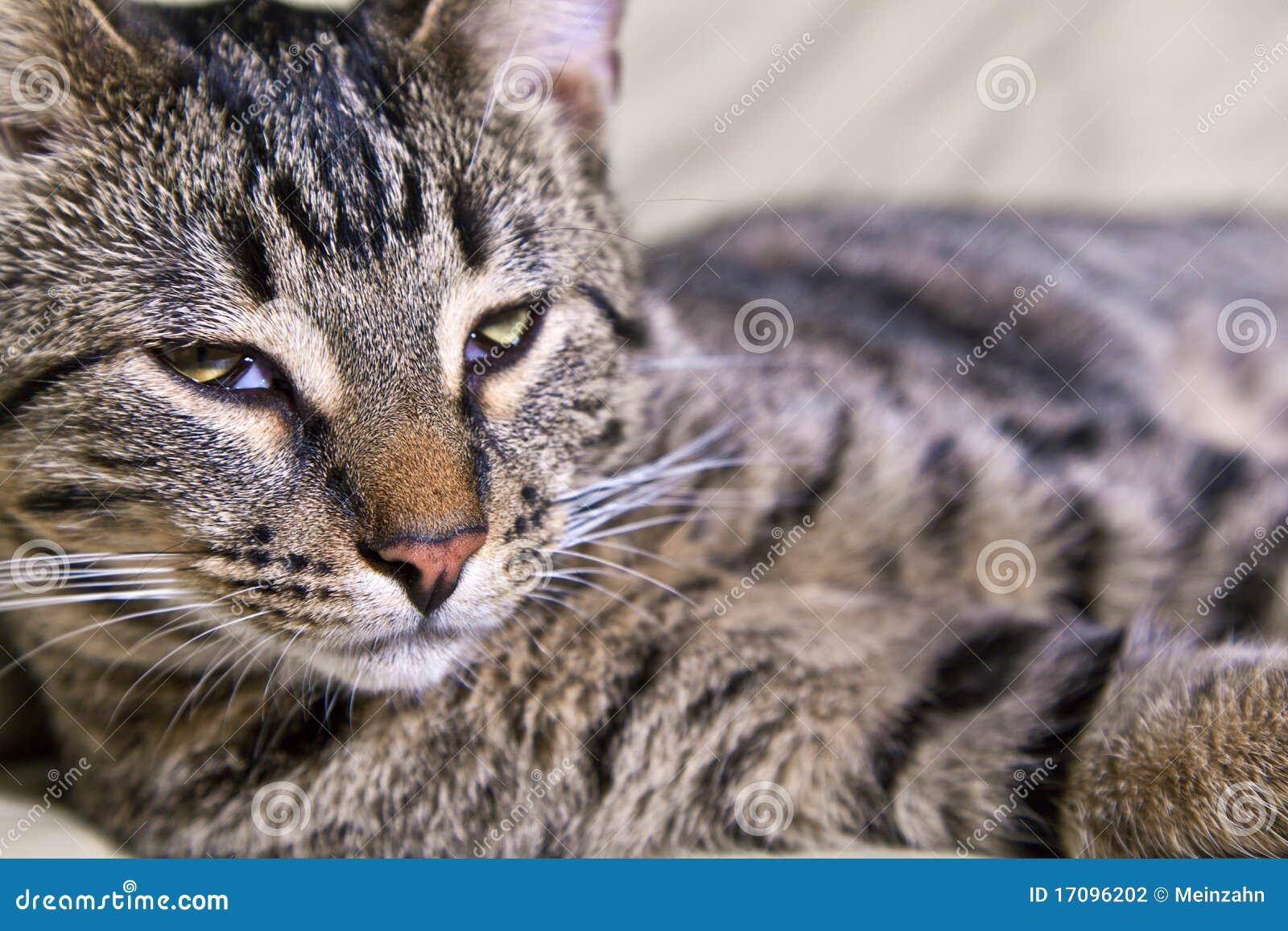 Schöne europäische Katze
