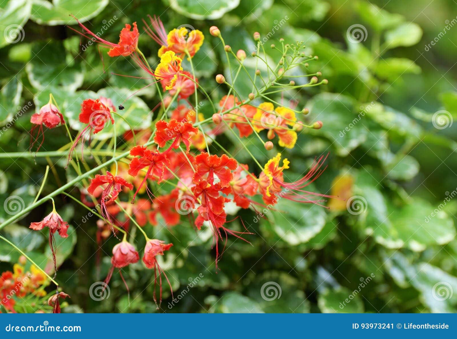 sch ne flora bunte rote und gelbe blumen von sabah borneo malaysia stockbild bild 93973241. Black Bedroom Furniture Sets. Home Design Ideas