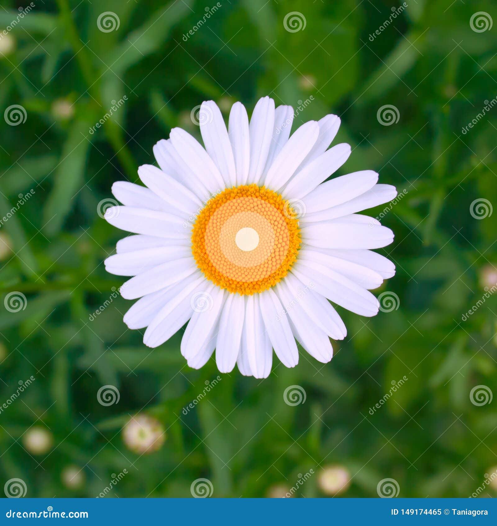Sch?ne frische helle Kamillenblume auf einen Blumenhintergrund des gr?nen Grases Entwurf