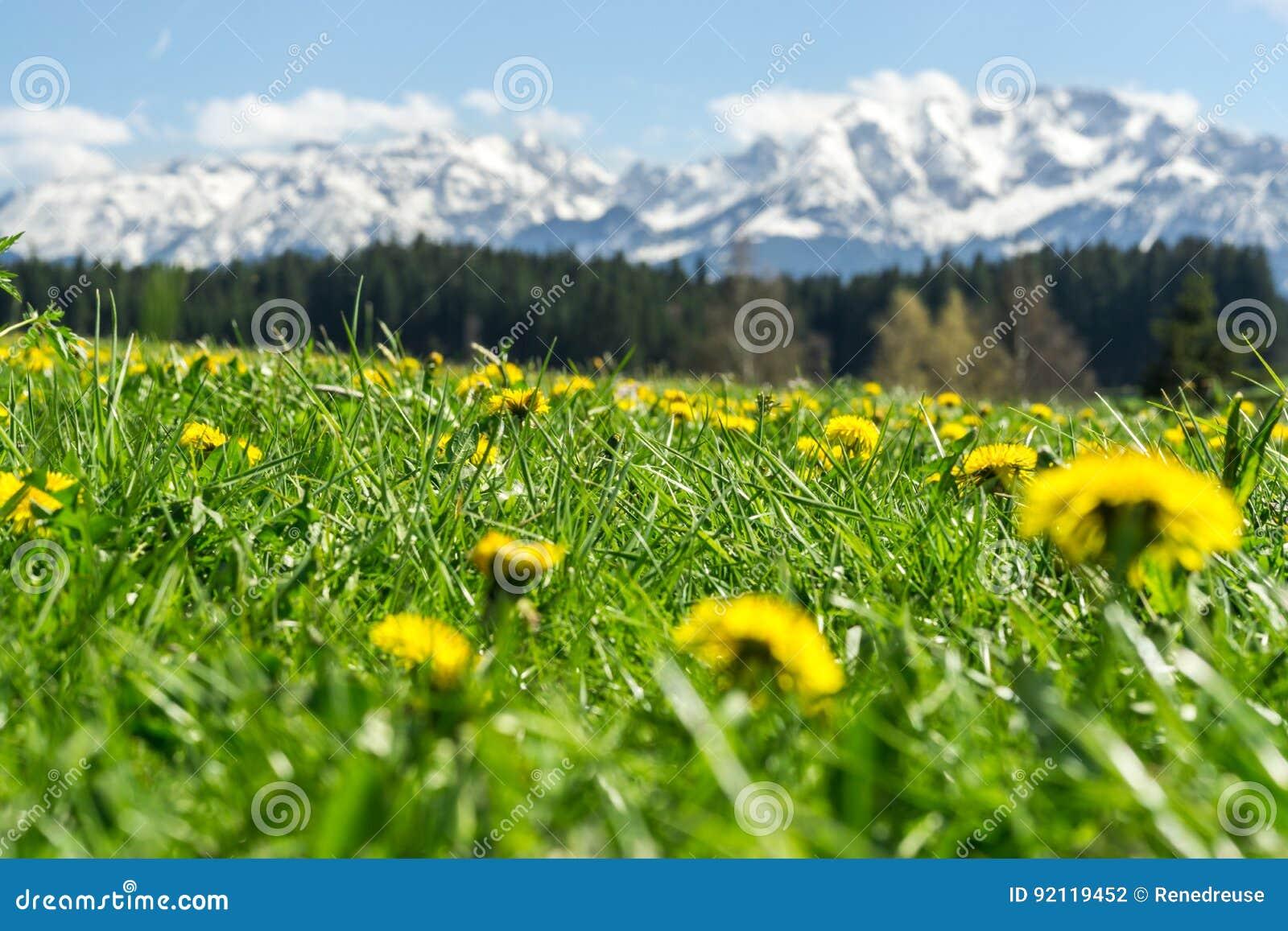 Schöne Gelbe Blumenwiese In Einer Idyllischen Gebirgslandschaft