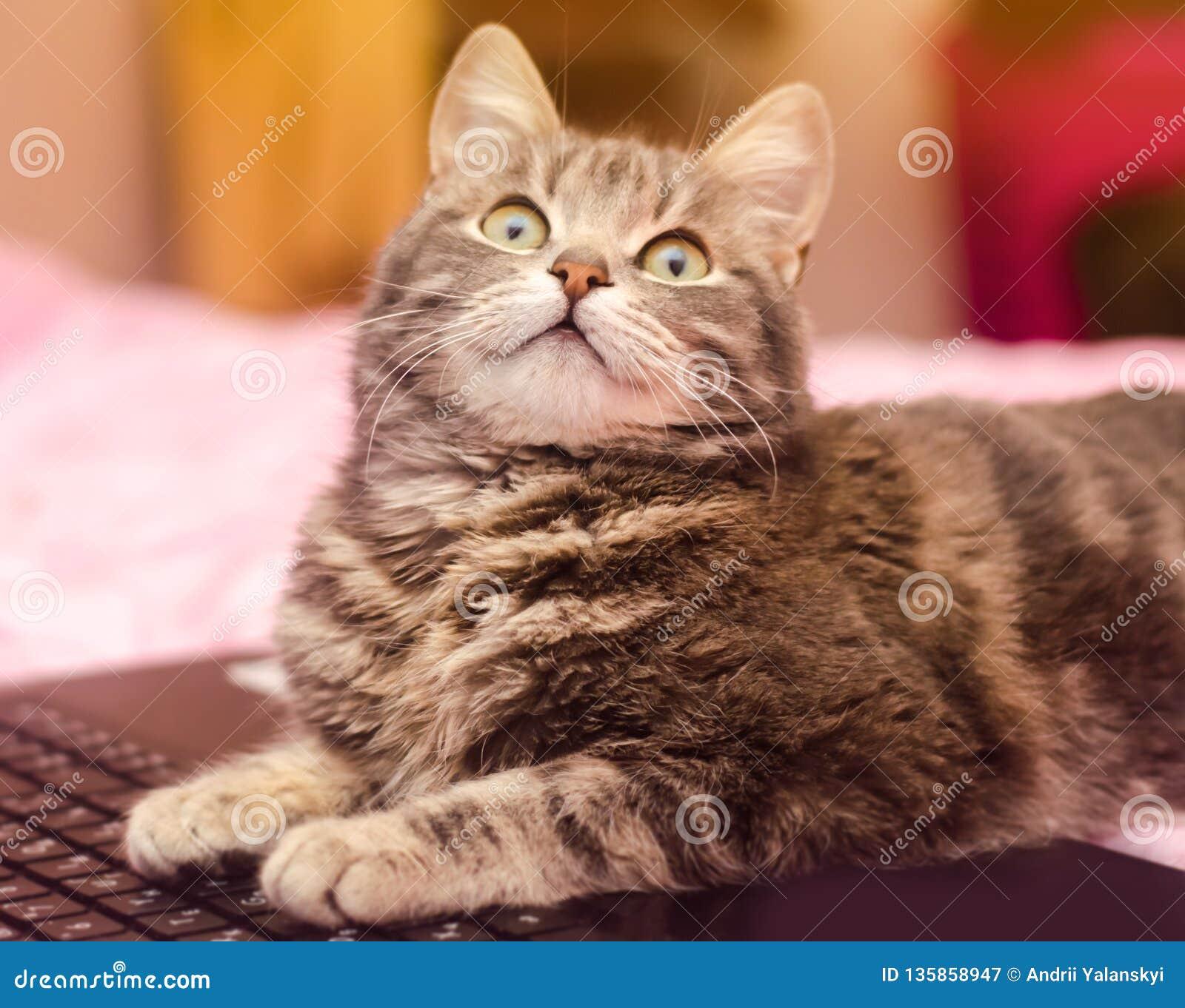 Schöne graue Katze der getigerten Katze liegt mit einem Laptop lustiges Haustier Rosa Hintergrund Selektiver Fokus