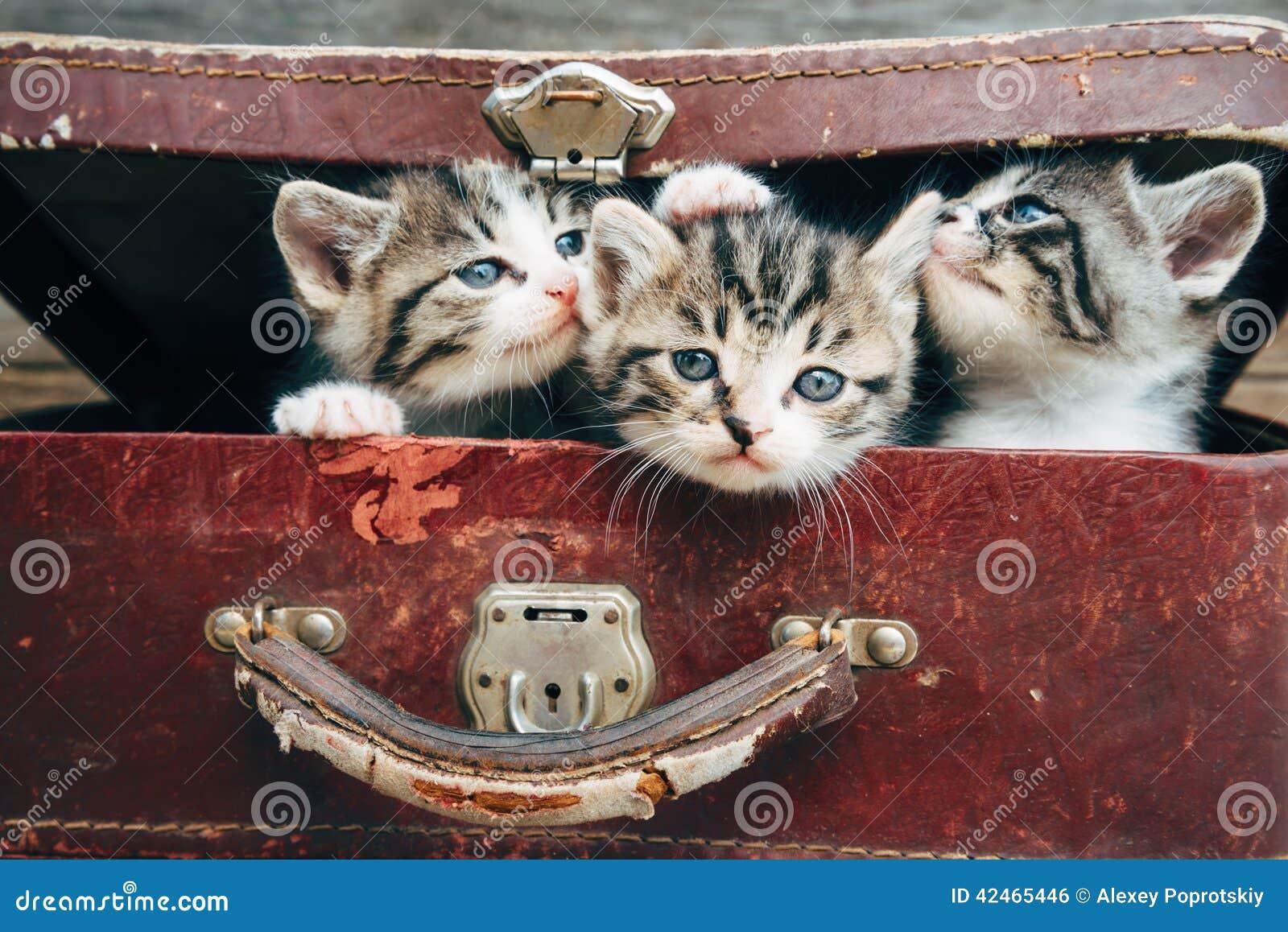Schöne Kätzchen im Koffer