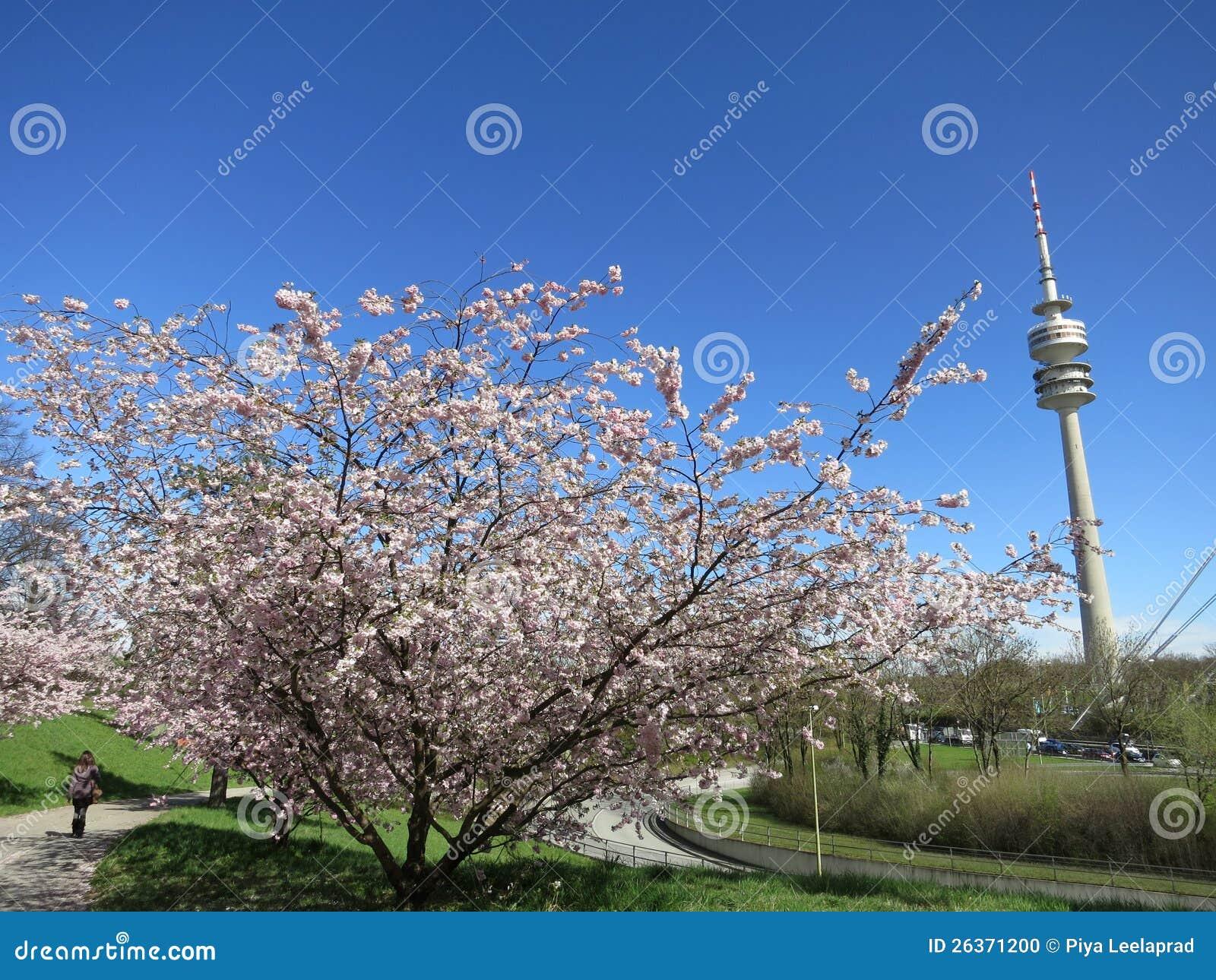 Schöne Kirschblüte Münchens im olympischen Park