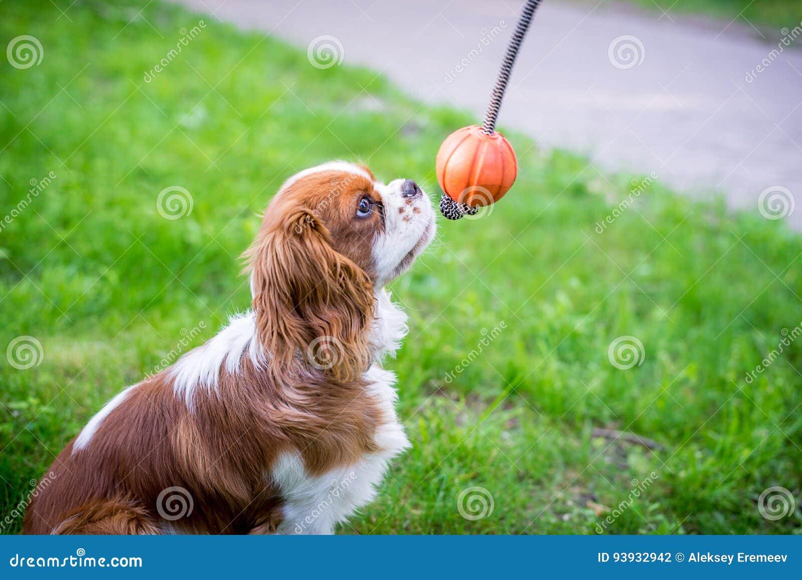Erstaunlich Schöne Hunderassen Dekoration Von Pattern Schöne Kleine Ein Spaniel, Das Auf