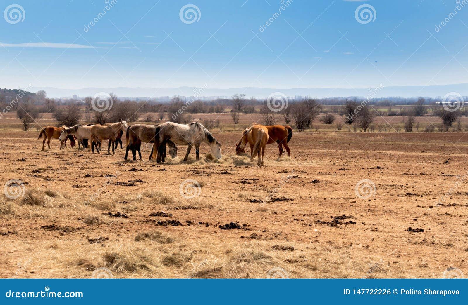 Schöne Landschaft, die Herde von den Pferden, die auf dem Gebiet weiden lassen