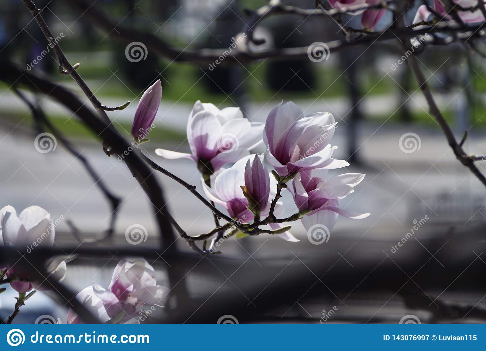 Schöne Magnolie im Garten schafft eine gute Laune