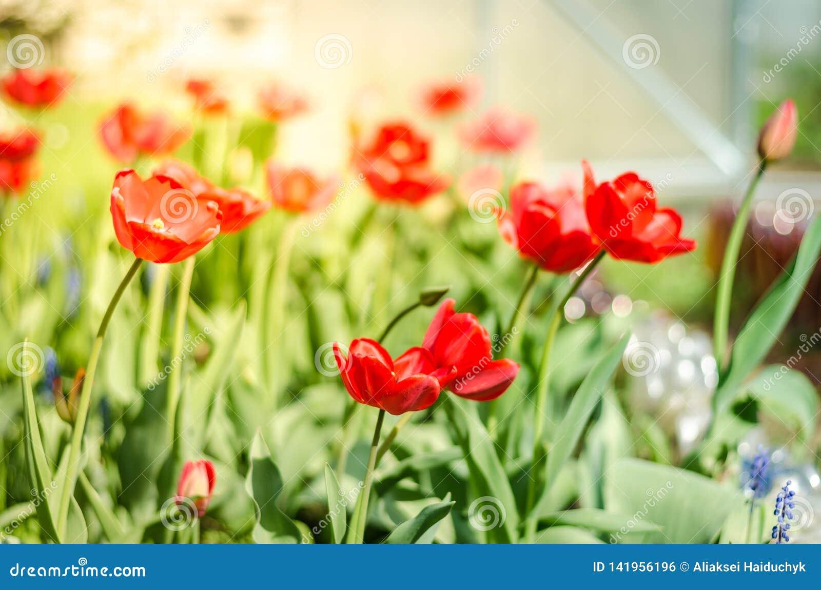 Schöne Naturszene mit blühender roter Tulpe im Sonnenaufflackern/in den Frühlingsblumen Schöne Wiese rote Tulpe der Feldblumen