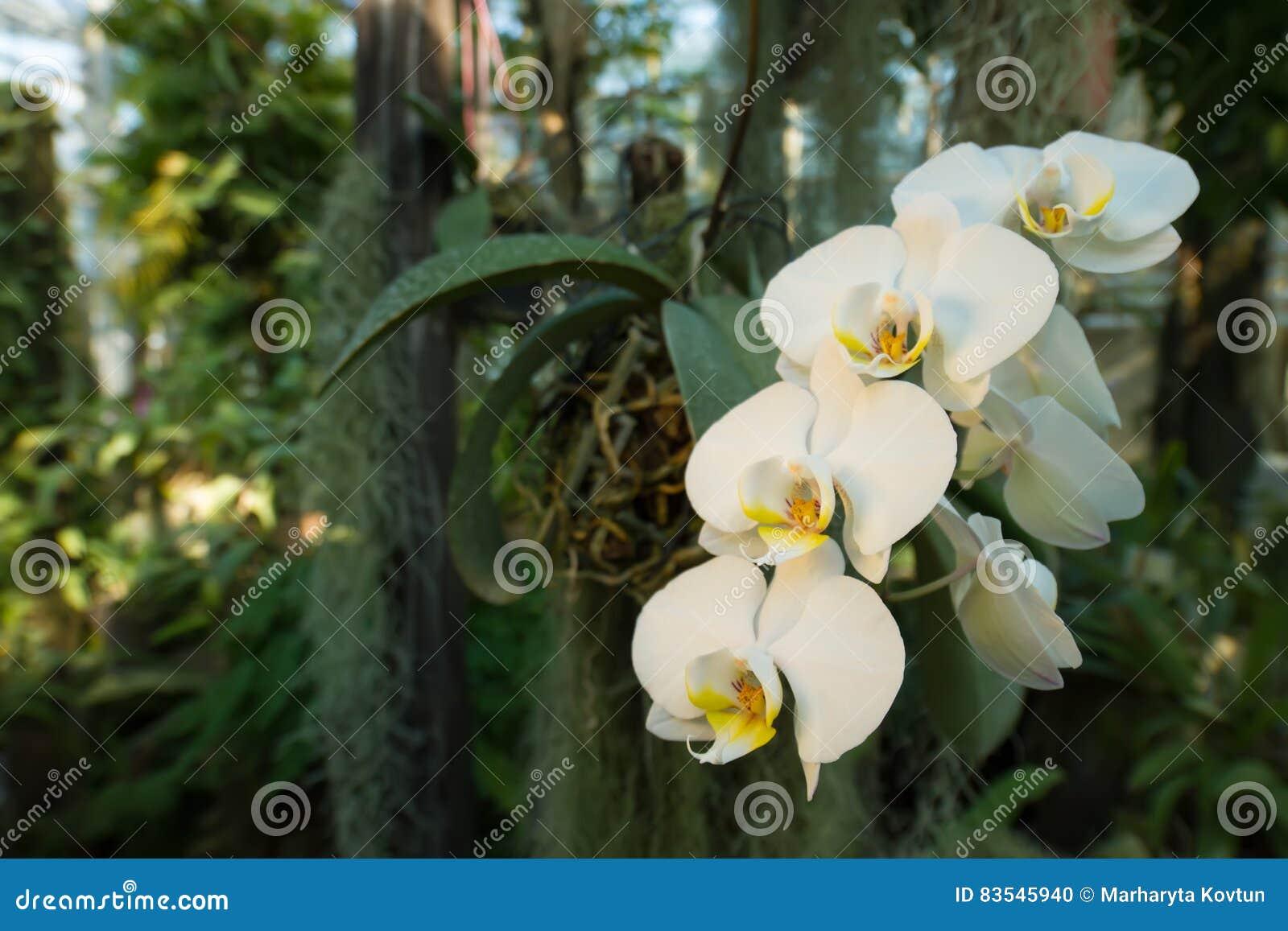 Schöne Niederlassung von weißen Orchideen in einem tropischen Wald