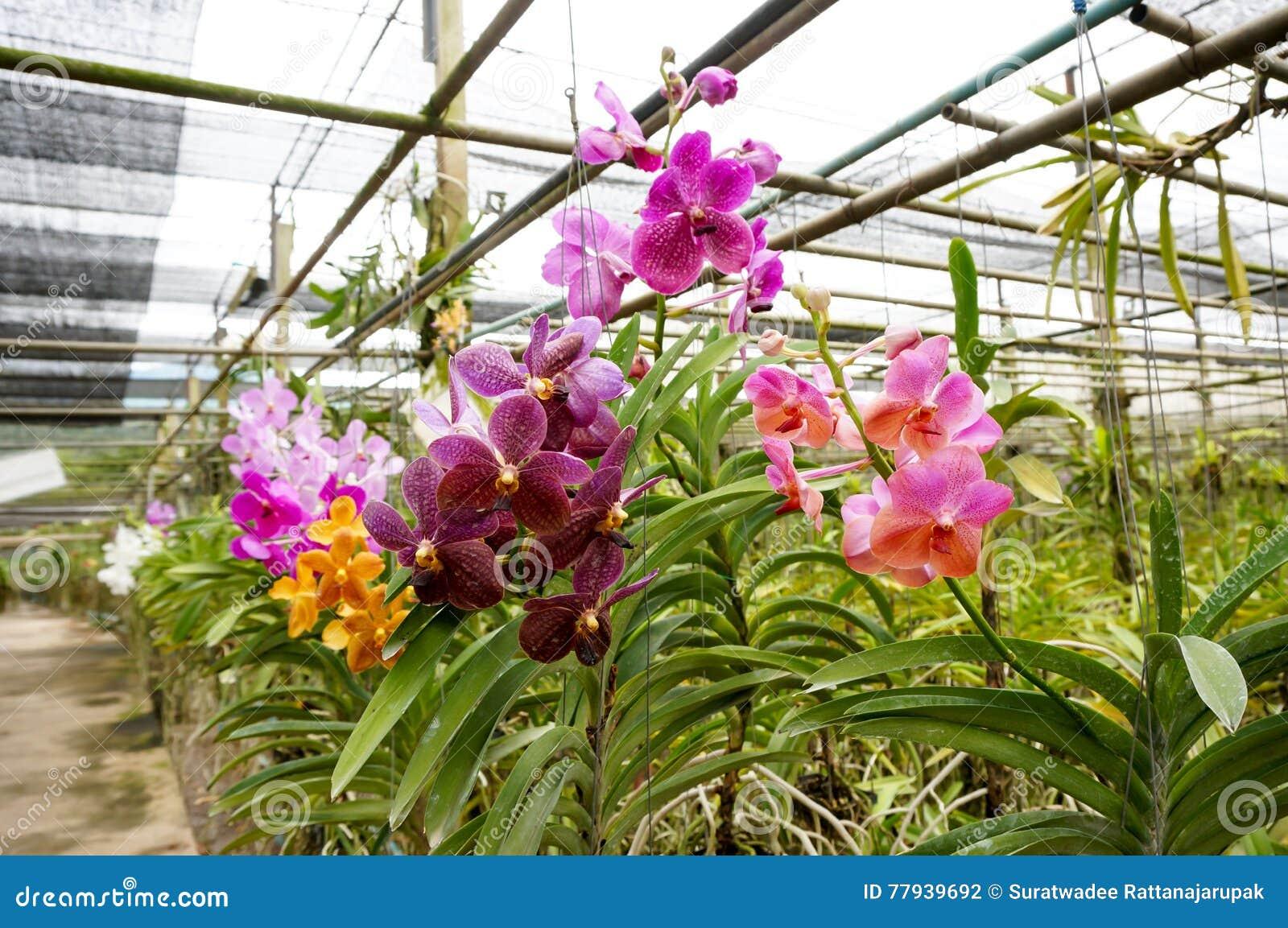 Schöne Orchideen im Bauernhof