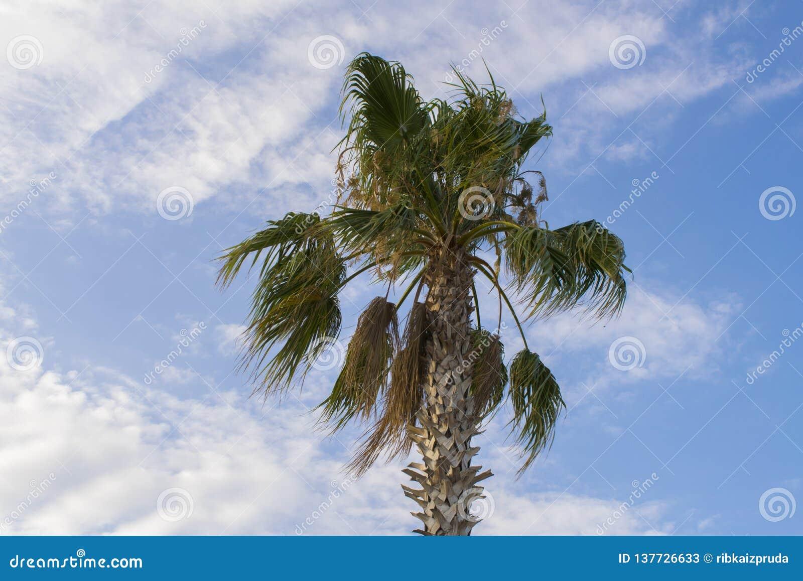 Schöne Palme gegen einen blauen bewölkten Himmel
