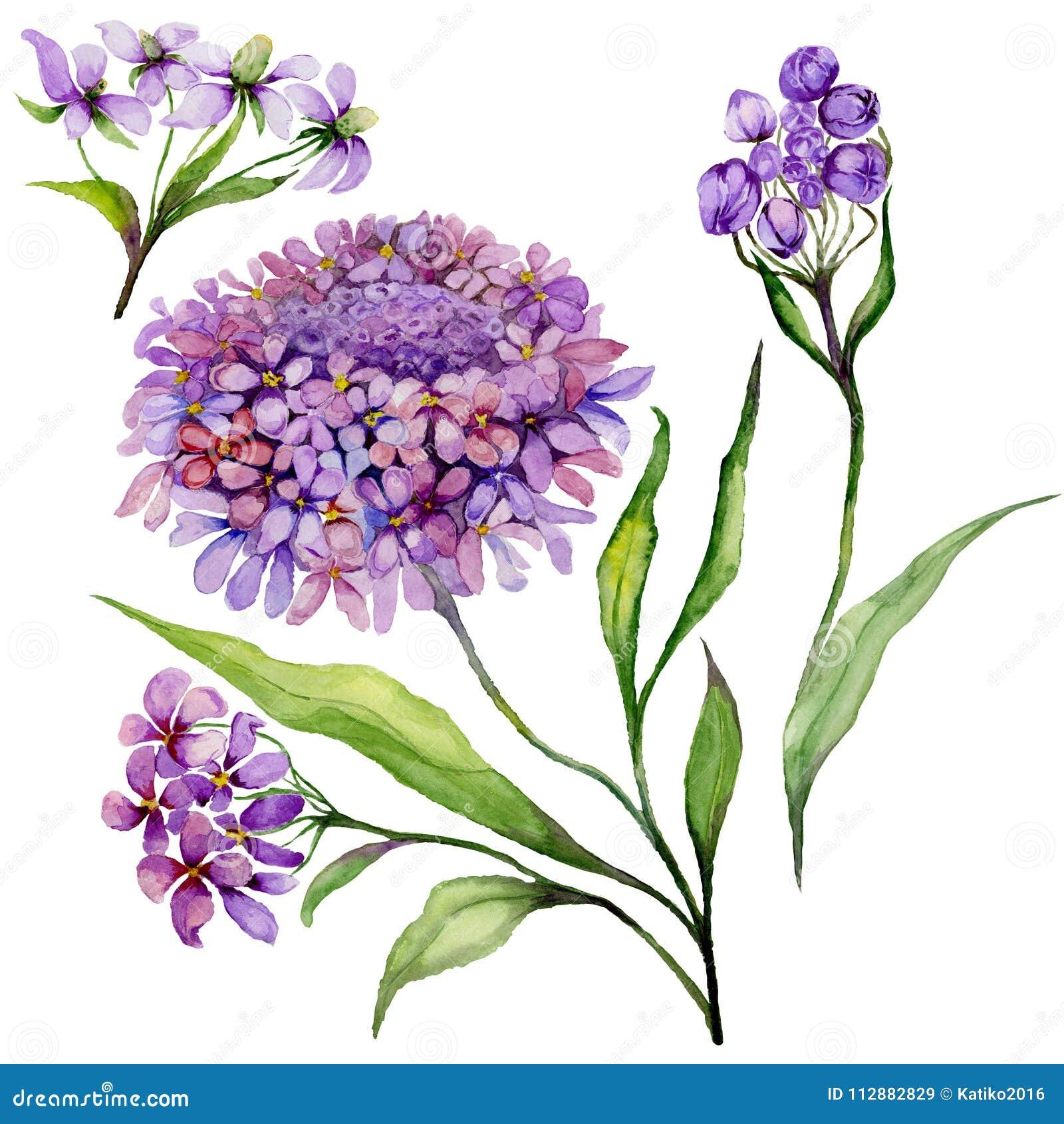 Schöne purpurrote Iberisblume auf einem Stamm Blumensatz candytuft blüht, Blätter, Knospen Getrennt auf weißem Hintergrund