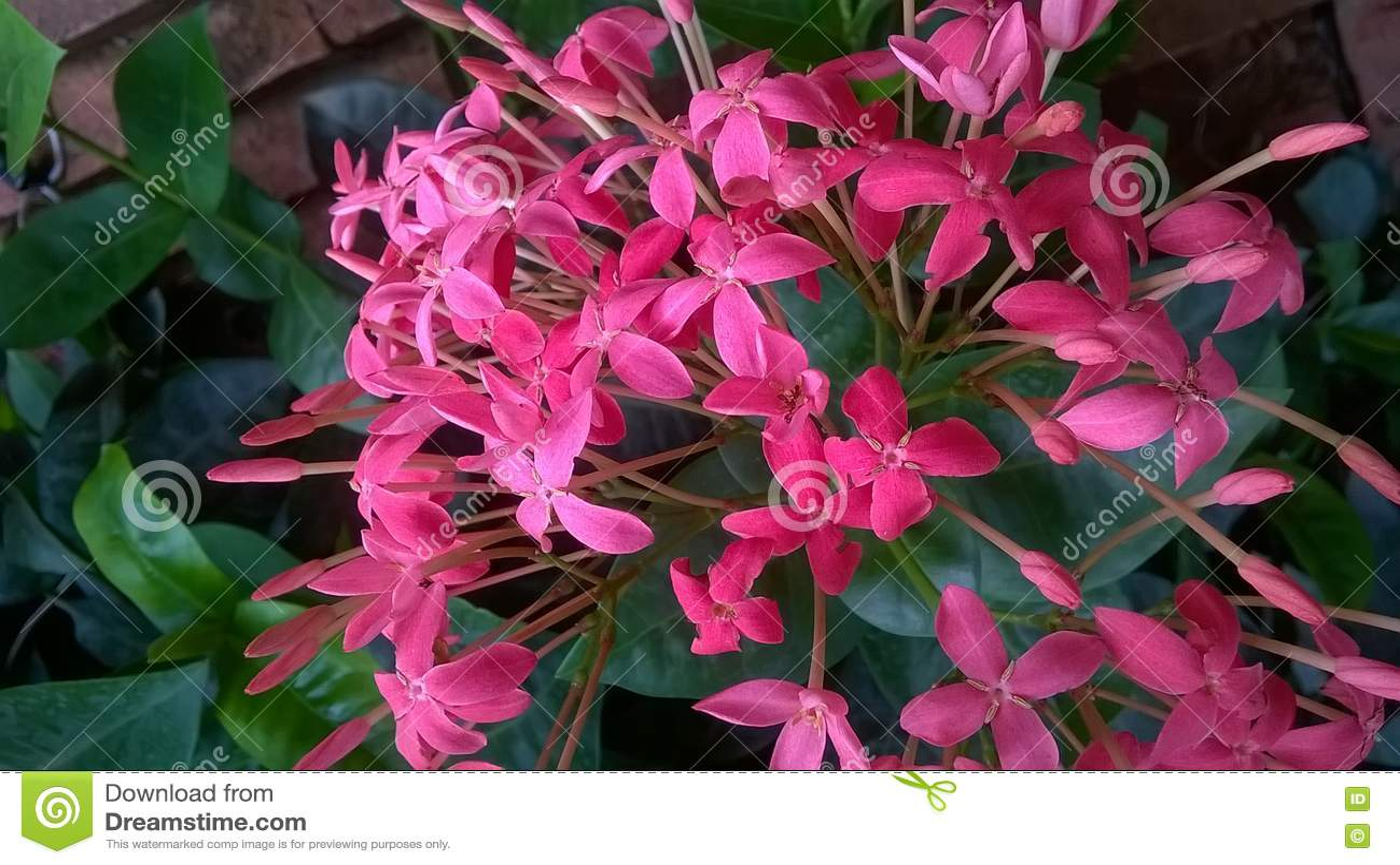 Schöne rosa Blumen