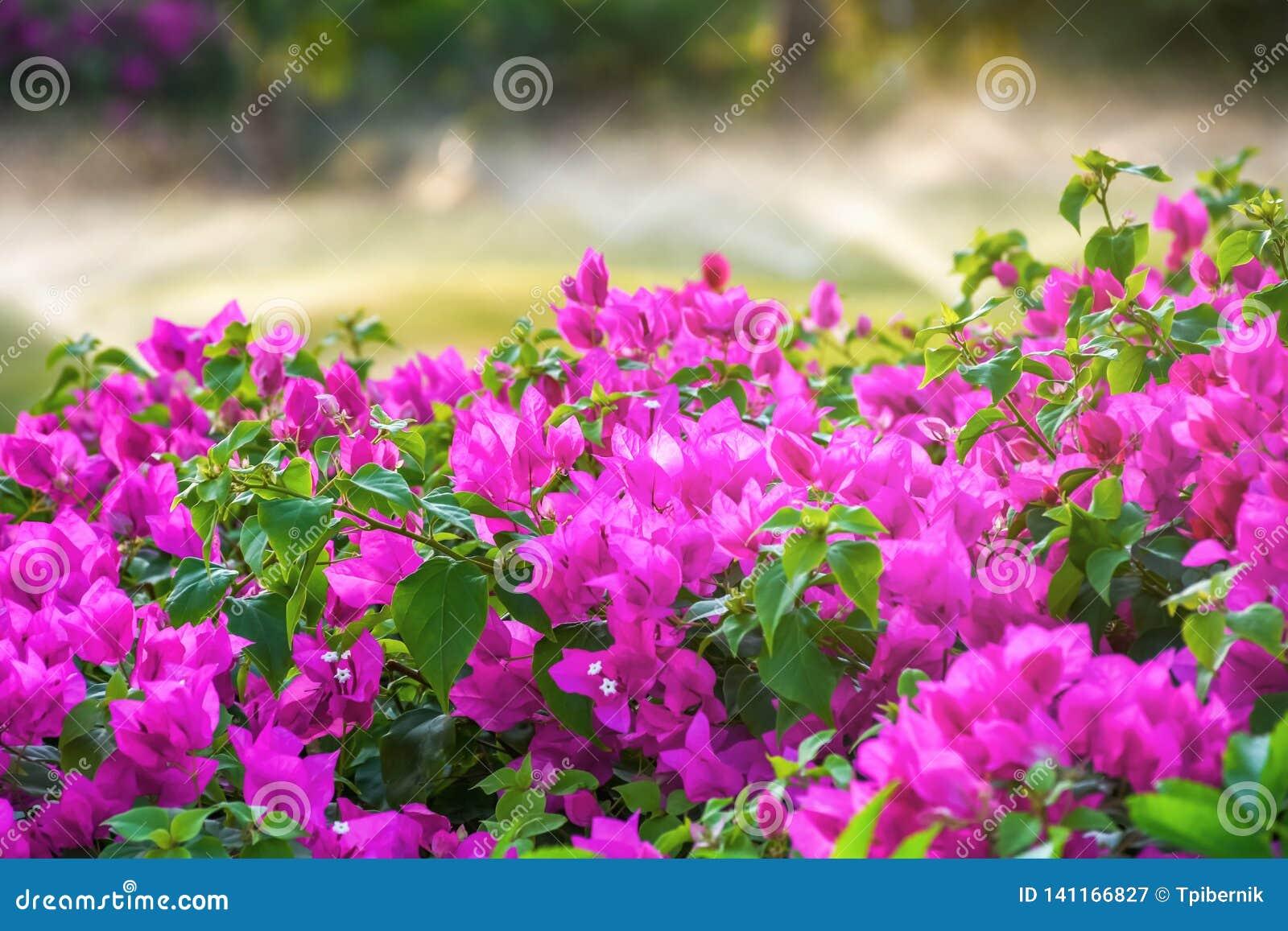 Schöne rosa Blumenblüte mit der Bewässerung und Wasser, die Gras besprühen