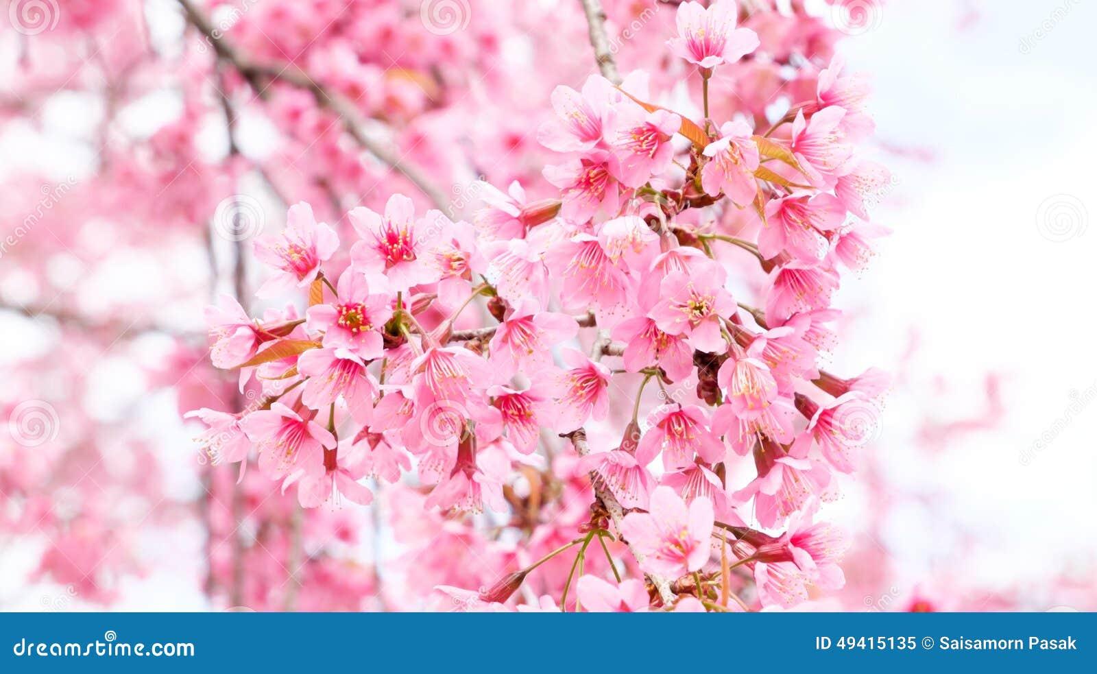Download Schöne Rosa Farbkirschblüte Stockbild - Bild von valentine, baum: 49415135