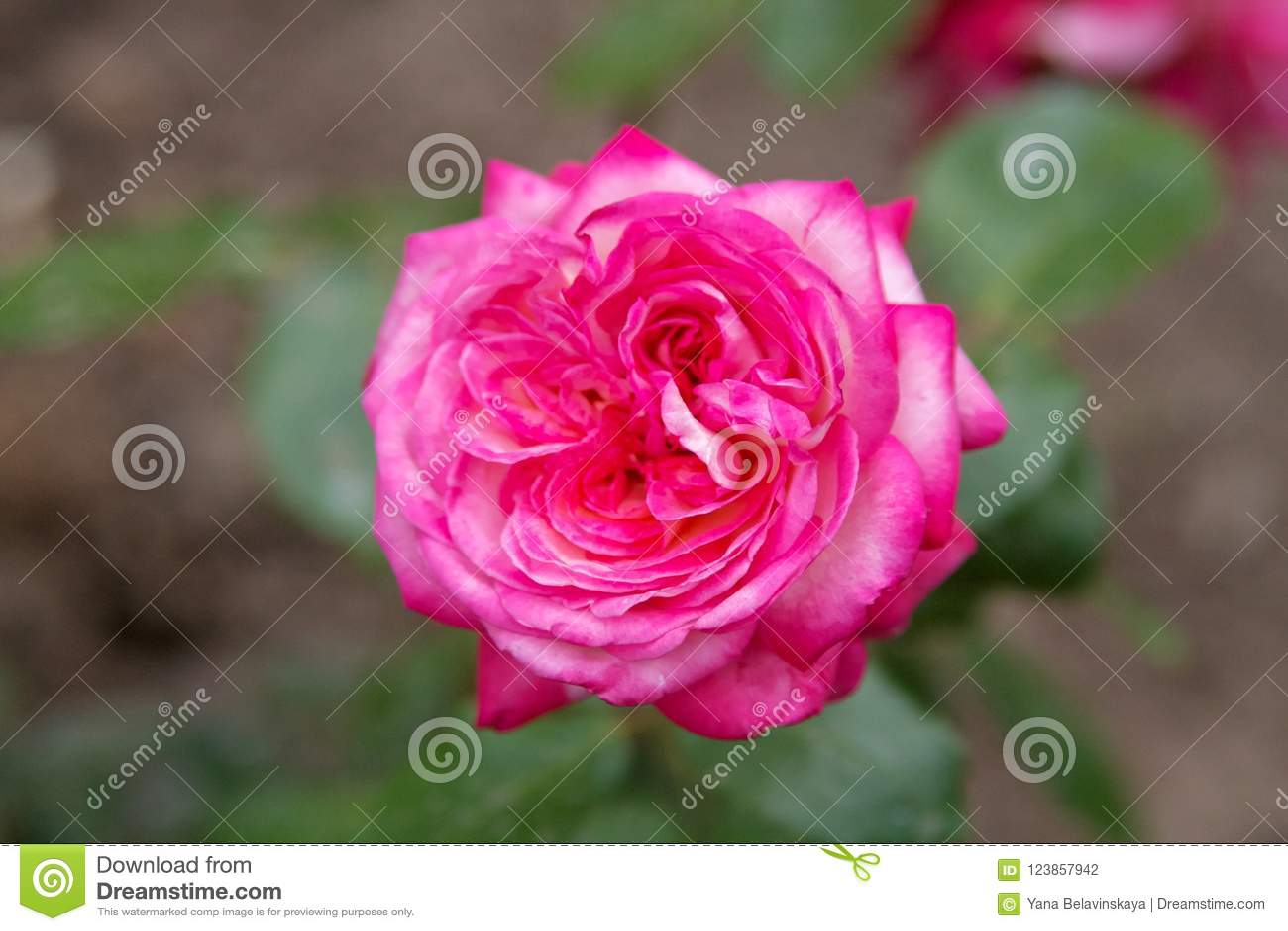 Schöne rosafarbene Blume