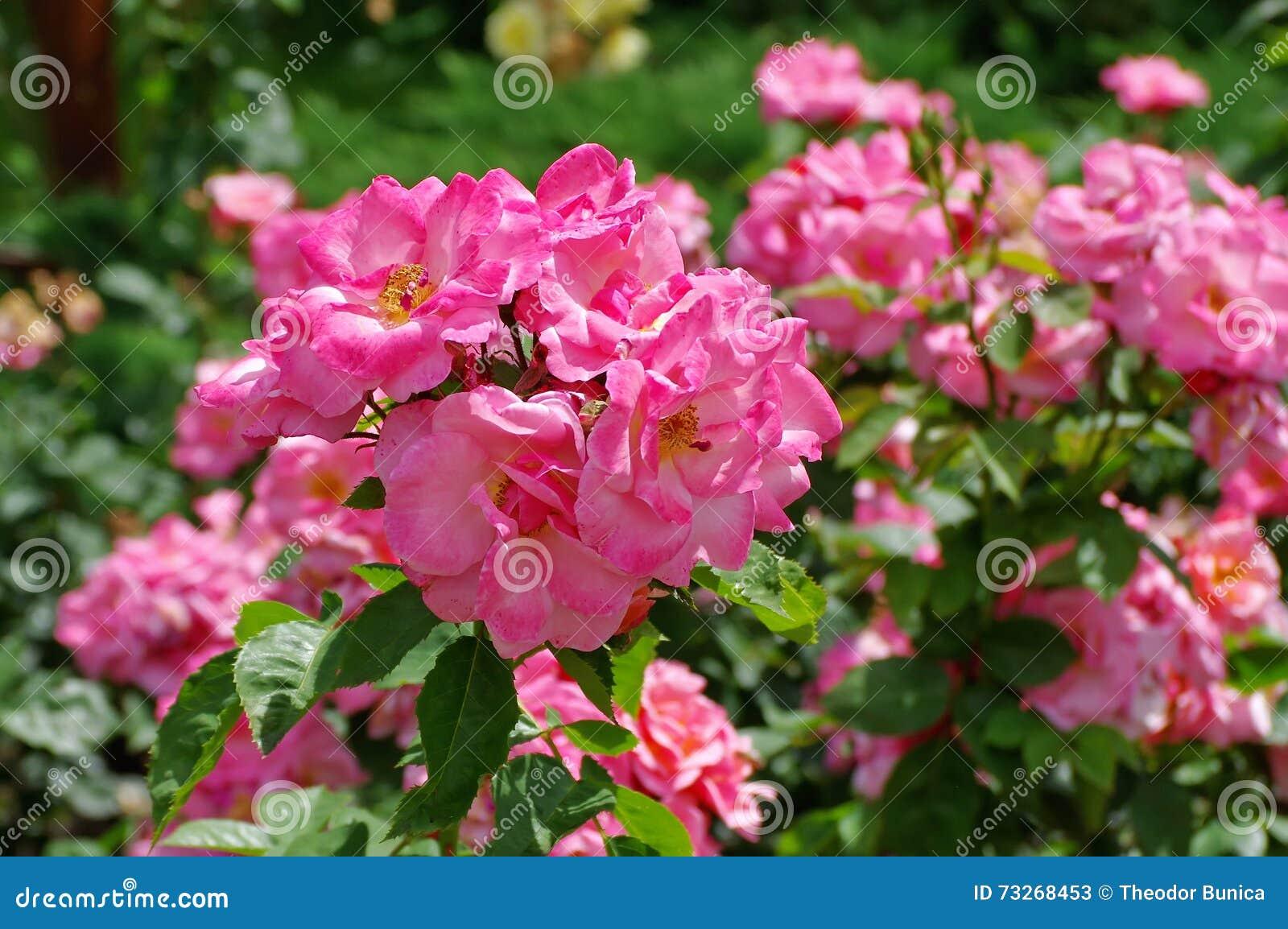 Schöne rosafarbene Rosen