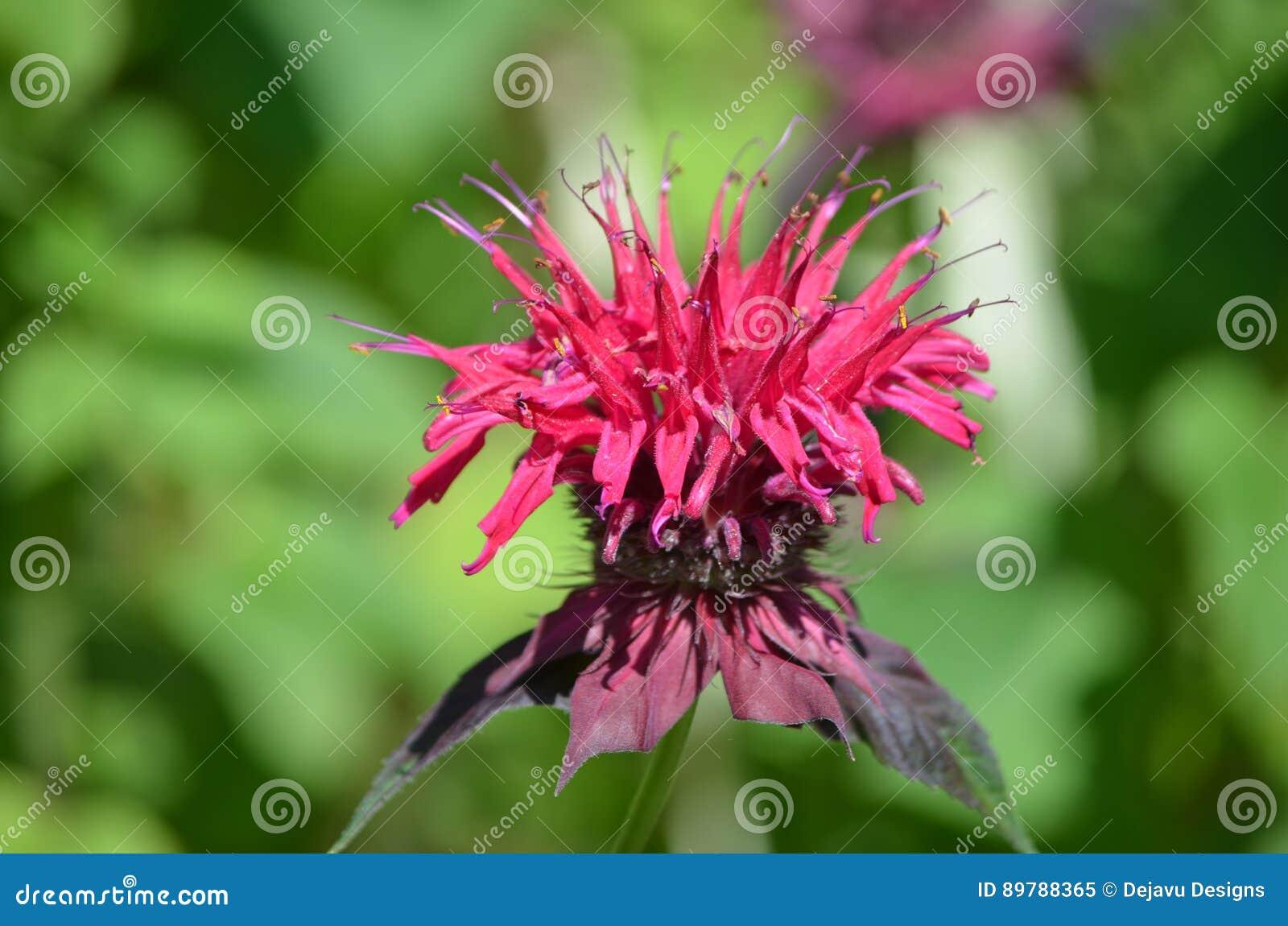 Schöne Rote Bienen-Balsam-Blume In Der Blüte Stockbild - Bild von