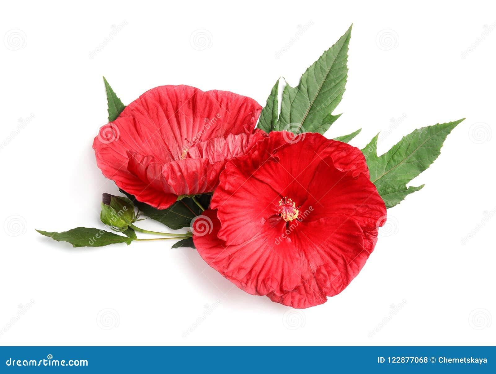 Schöne rote Hibiscus-Blumen